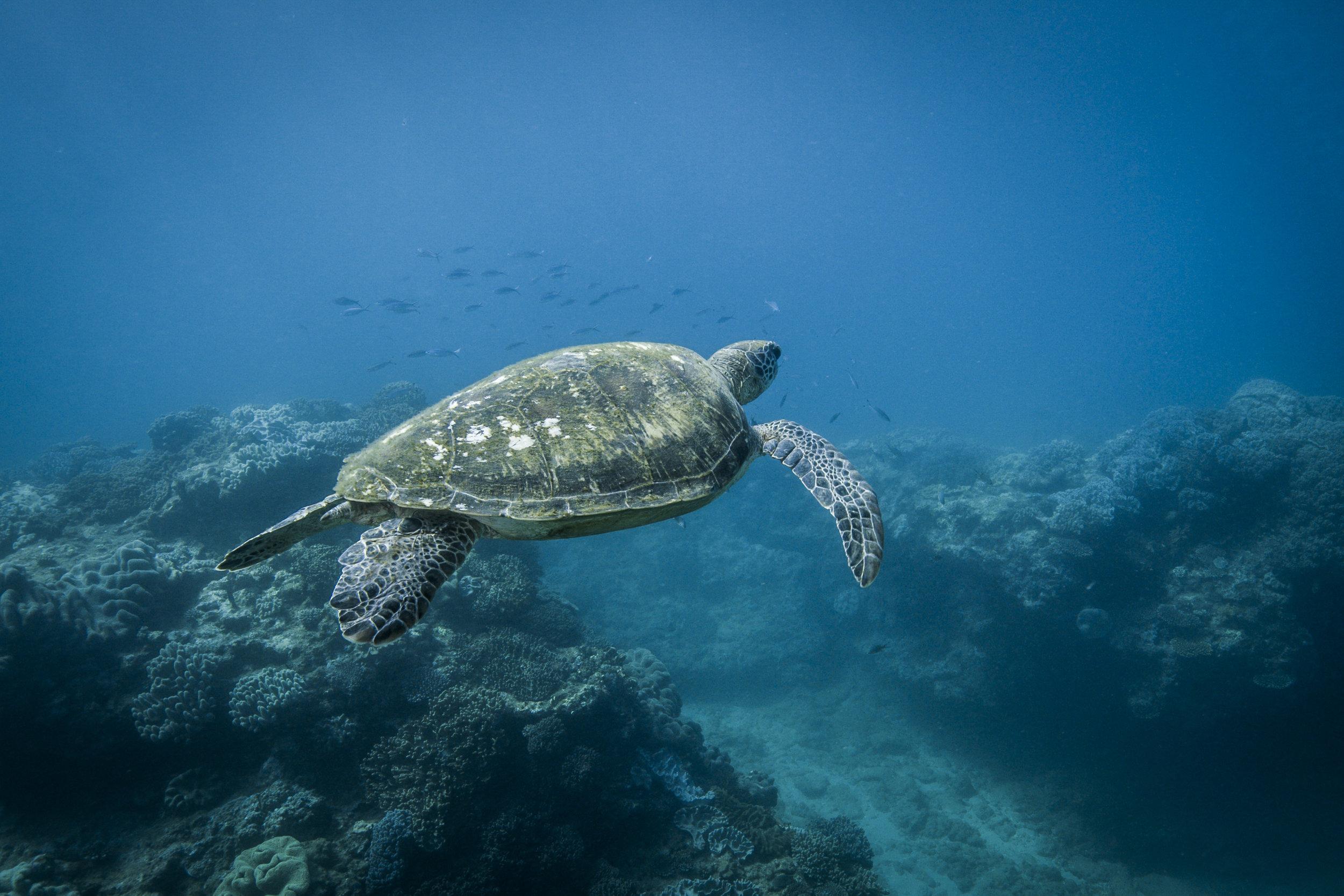BLUE - turtle.jpg