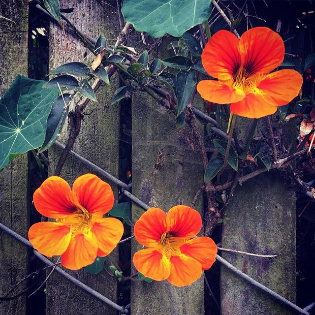 #simplethings #nature #plants #flowers #fence #neighbor #three #details #orange