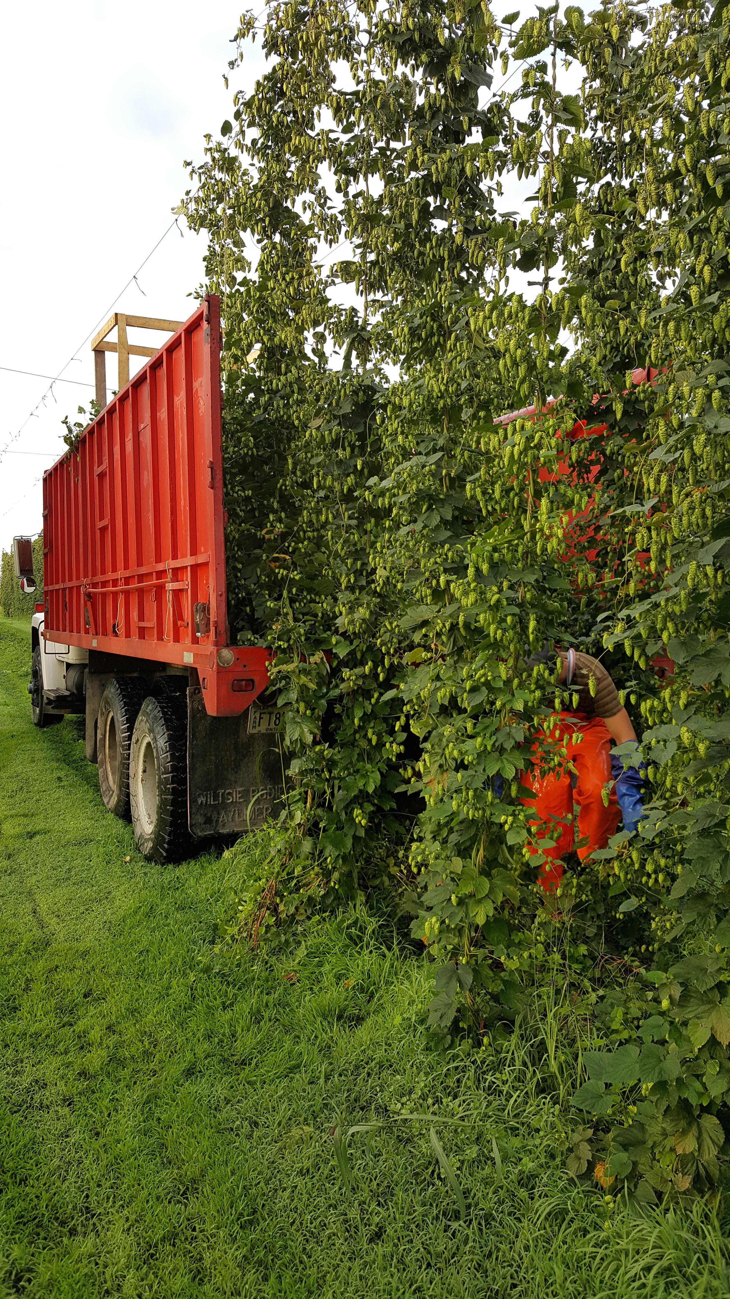 Loading the truck. Harvest 2016