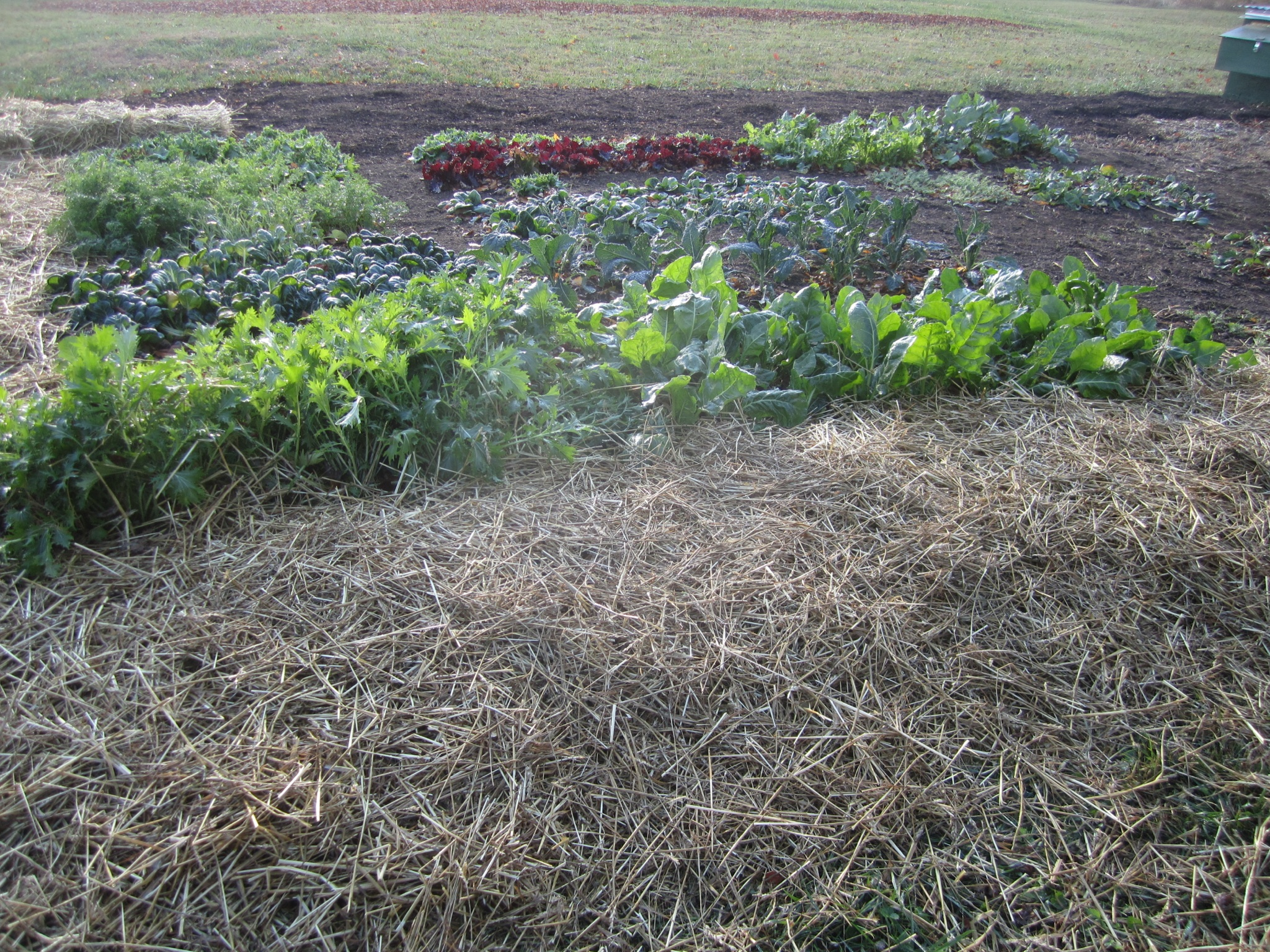 The freshly planted garlic has been mulched and is now ready to ride out the winter months.