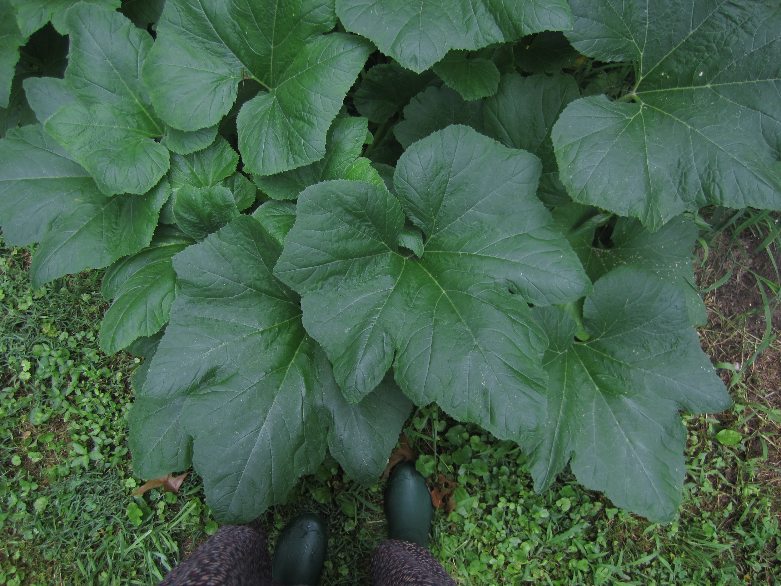 Lush zucchini foliage in late spring. Photo by Brooke.