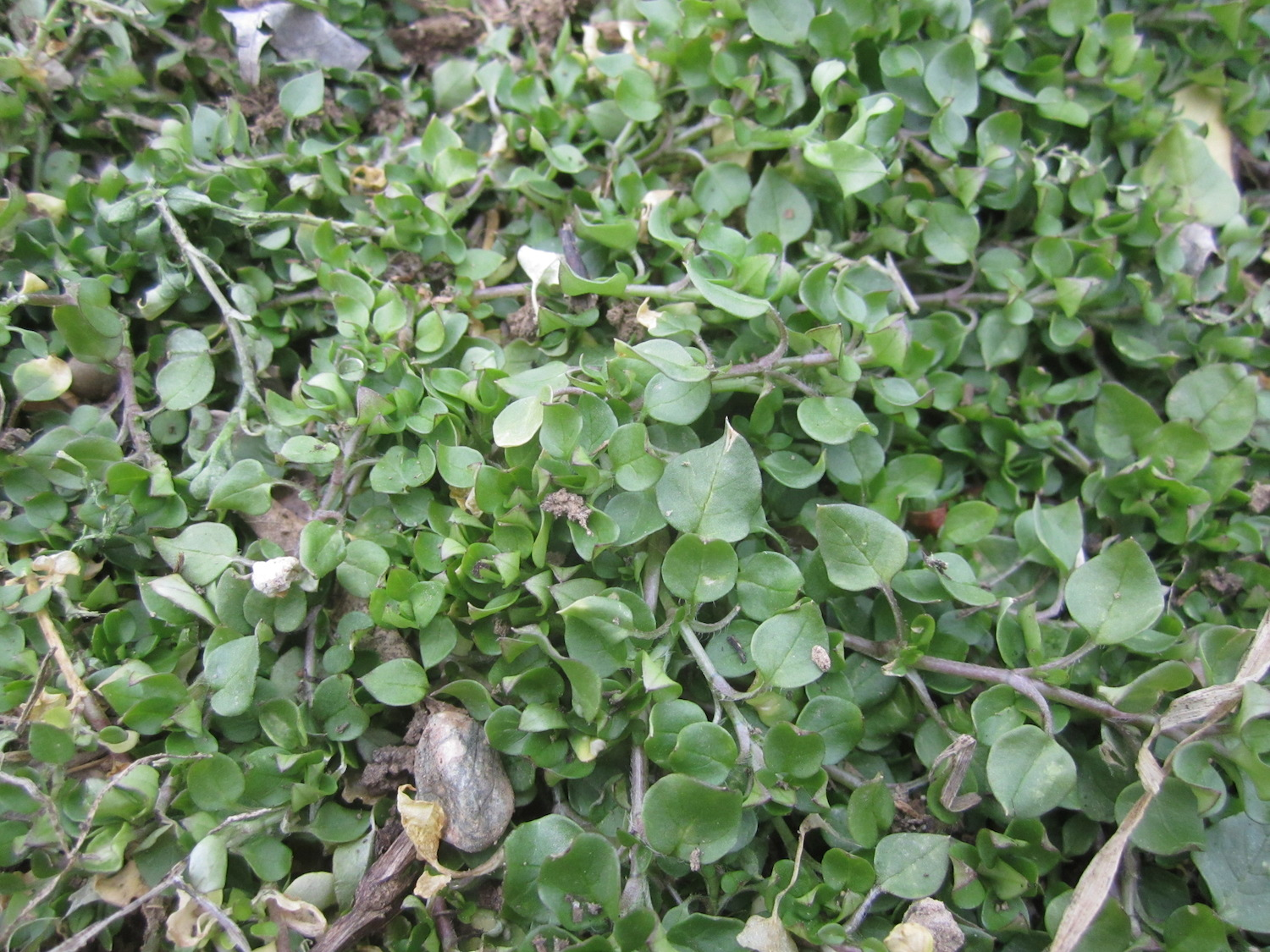 Sprawling chickweed in a garden bed.