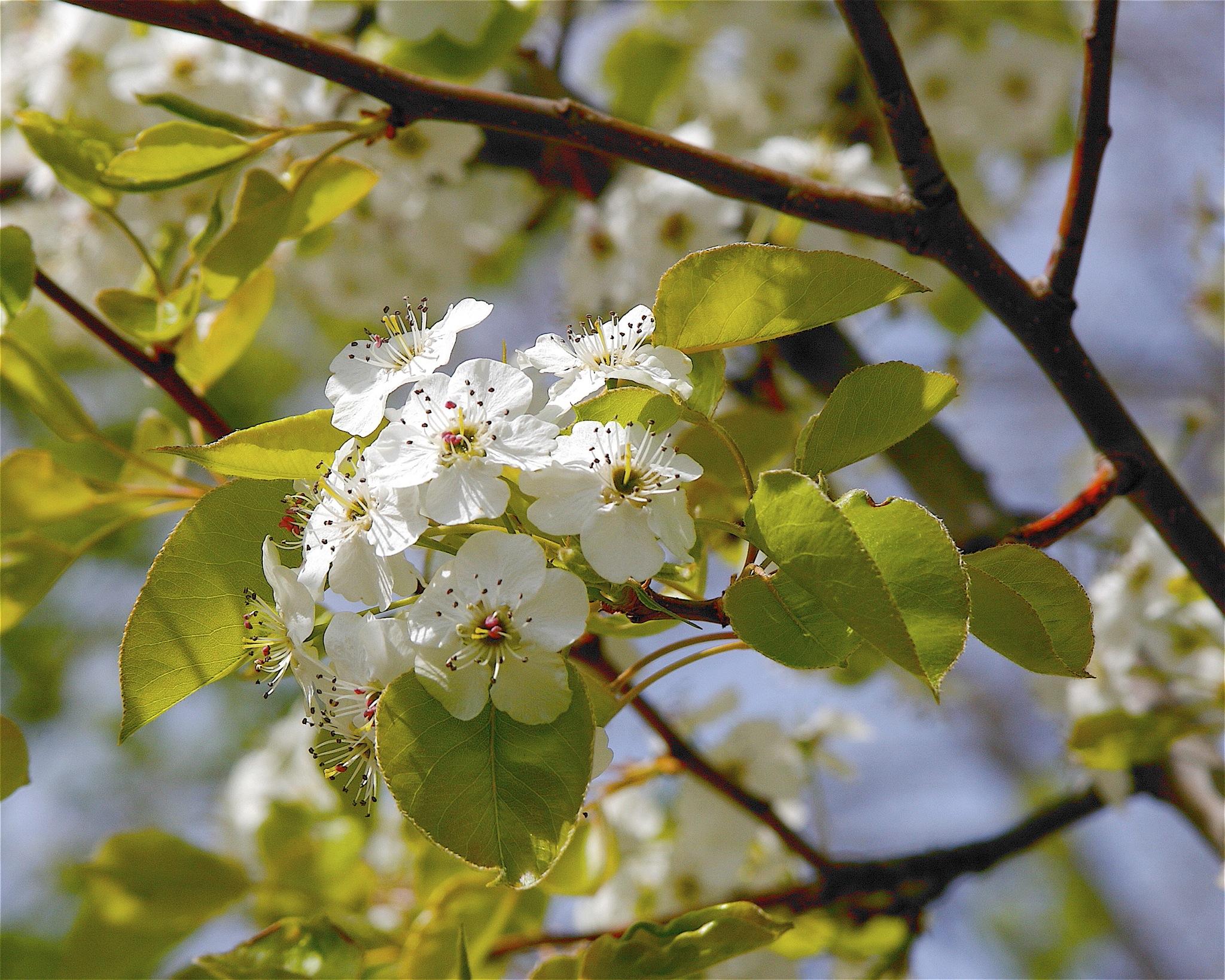 Callery pear flowers. Photo by    Dan Mullen   .
