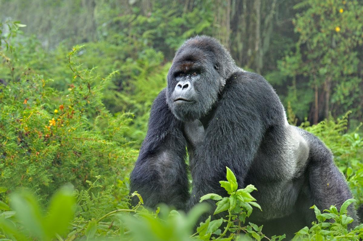 gorilla-ishmael.jpg