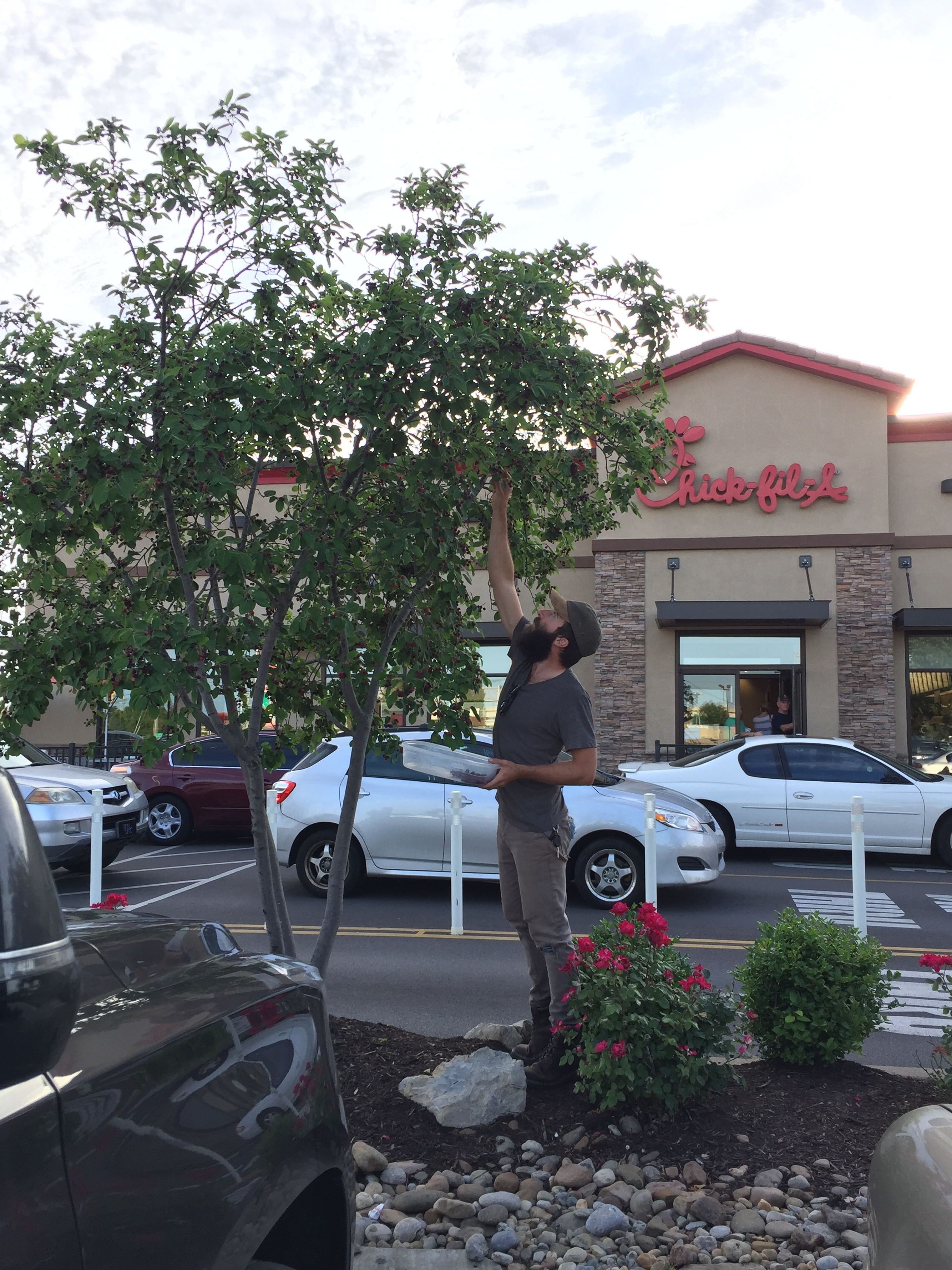 The author gathers edible serviceberries in a Chick-fil-a parking lot in suburban Louisville, KY.