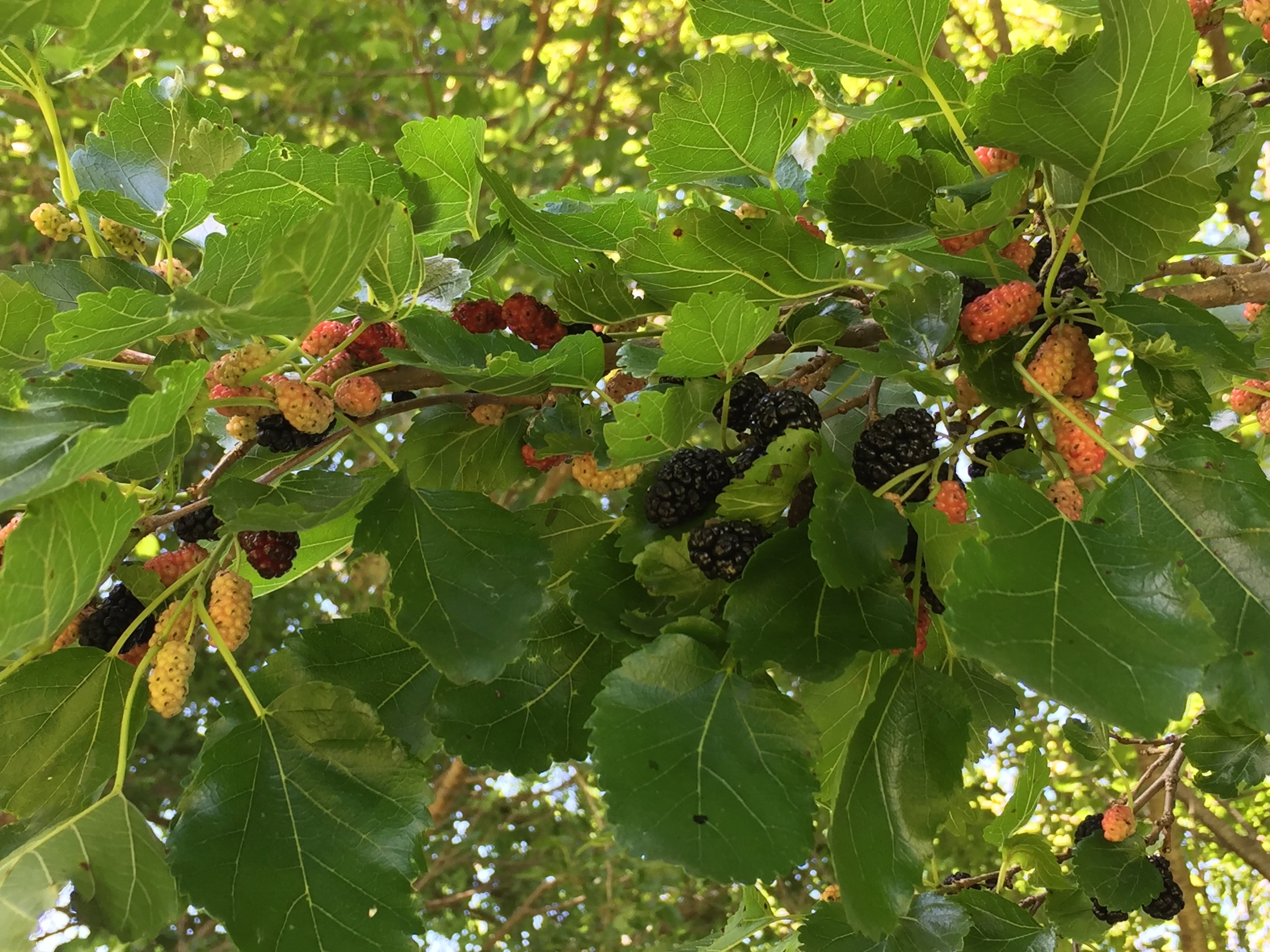 mulberries-3.JPG