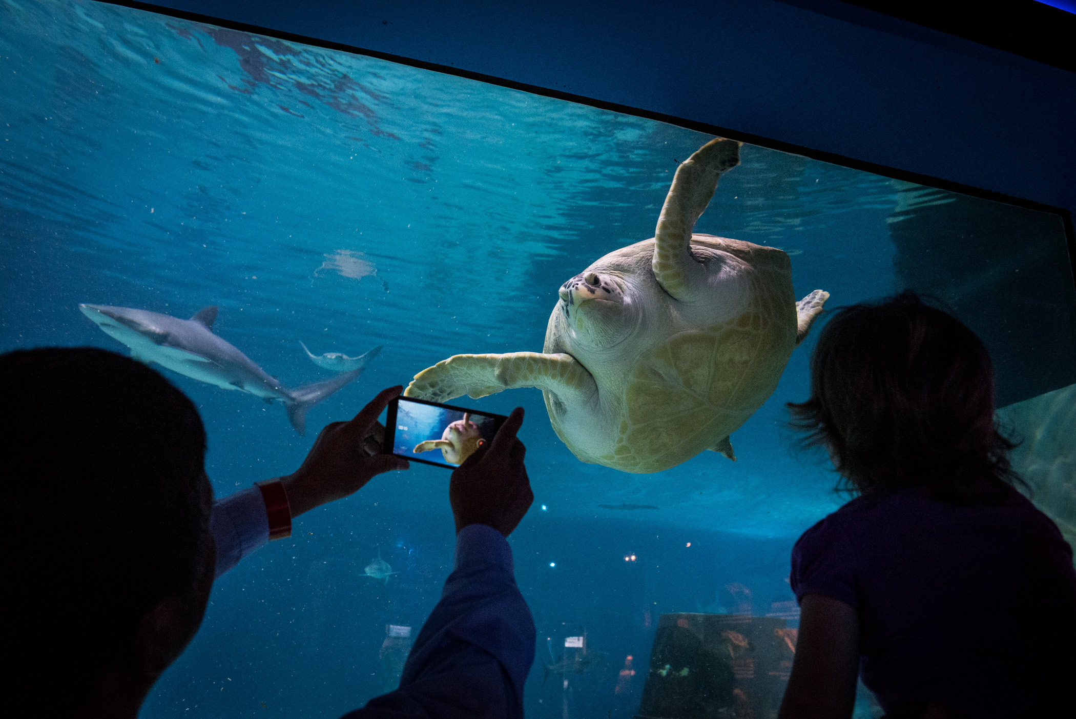 A man shoots video on his phone as a sea turtle swims by at the Adventure Aquarium in Camden, N.J., on Friday, June 17, 2016. The new Sea Turtle Cove exhibit will focus on endangered species of sea turtles from around the globe, as well the resident loggerhead and green sea turtles at the aquarium, and will officially open to visitors on Saturday, June 18, 2016. (Michael Ares / Philadelphia Inquirer)