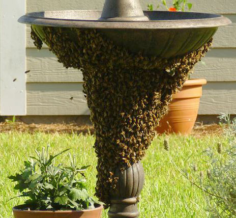 honey_bee_swarm_rebekah.jpg