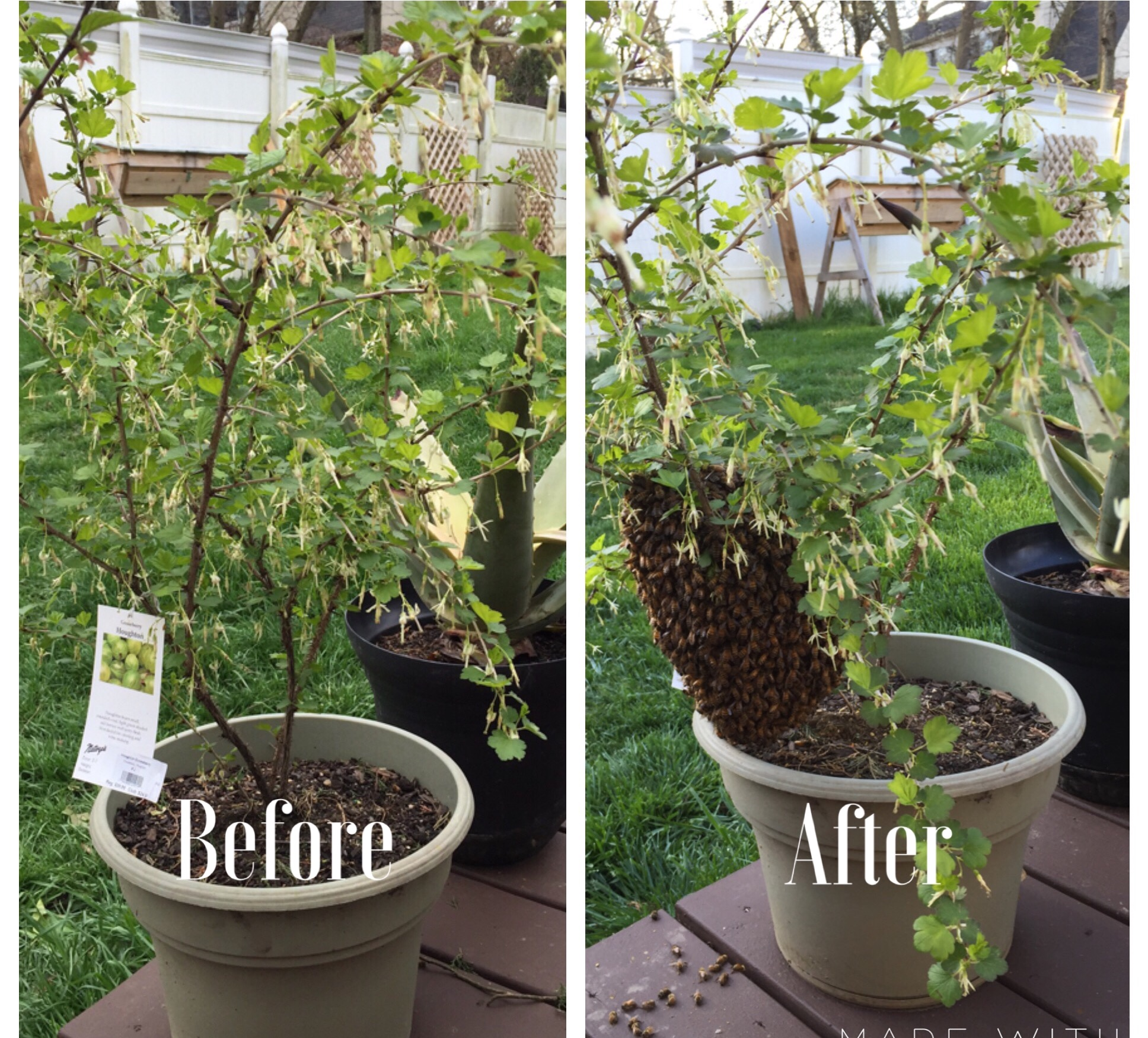 Swarm before and after gooseberry tree.JPG
