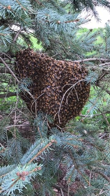 2017 first swarm .JPG