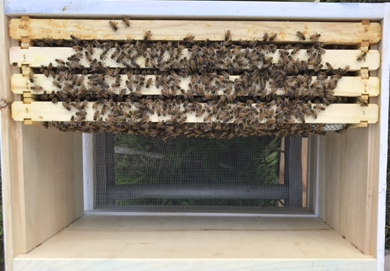 American Honey - Host A Hive Gaiser Bee Co. Dater Montessori