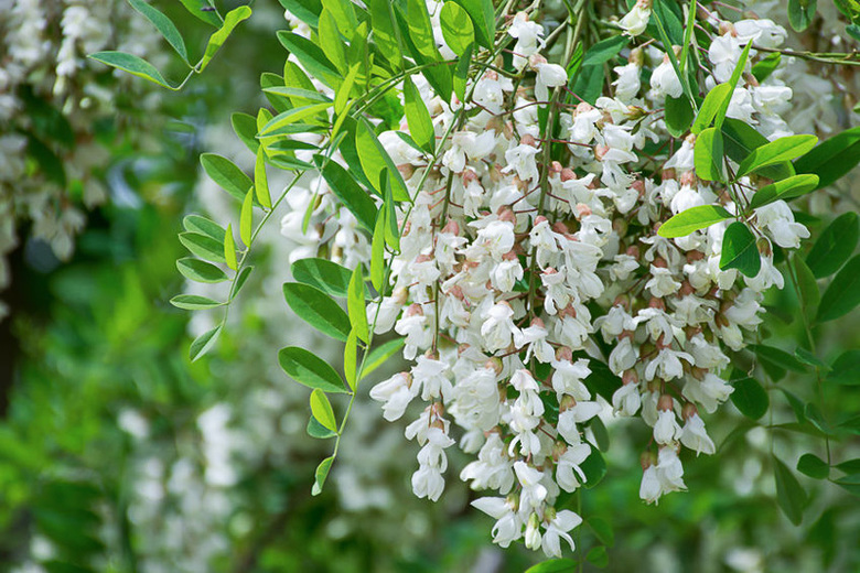 Host A Hive Black Locust