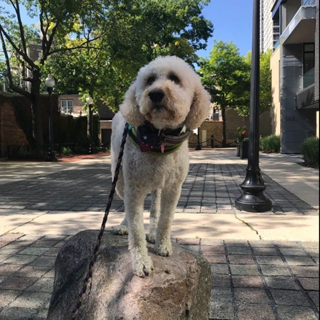 Millie had a big day and concurred this naturally occurring mountain in Old Town #majesticpaws #petcarepros #oldtown #dogwalking #chicagodogs #goldendoodle #goldendoodlesofinstagram