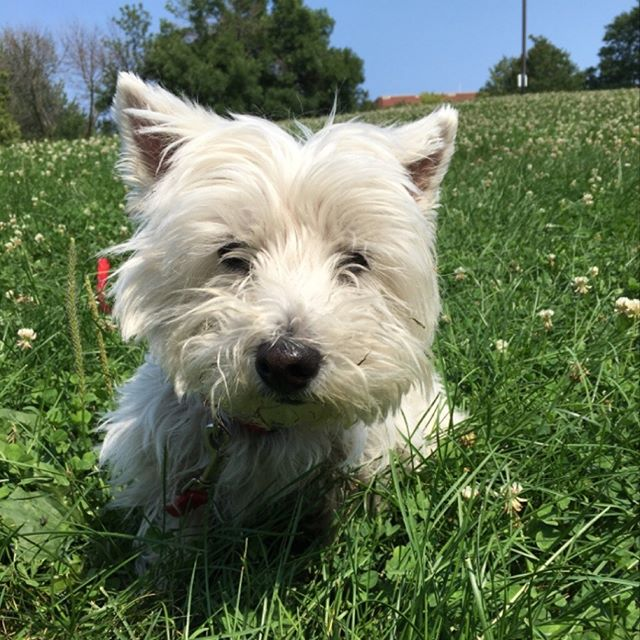 Elsie the #westie on a beautiful Chicago summer day. Enjoy the weekend everyone! #majesticpaws #chicagodogs #westhighlandterrier #petcarepros #dogwalkers