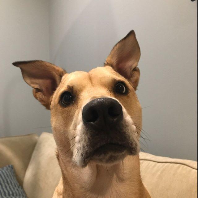 ZOINKS! #majesticpaws #Roxy #sharpei #labradorretriever #sharpeilabmix #scoobydooears #dogsofinstagram #petcarepros #dogwalkers #bucktown