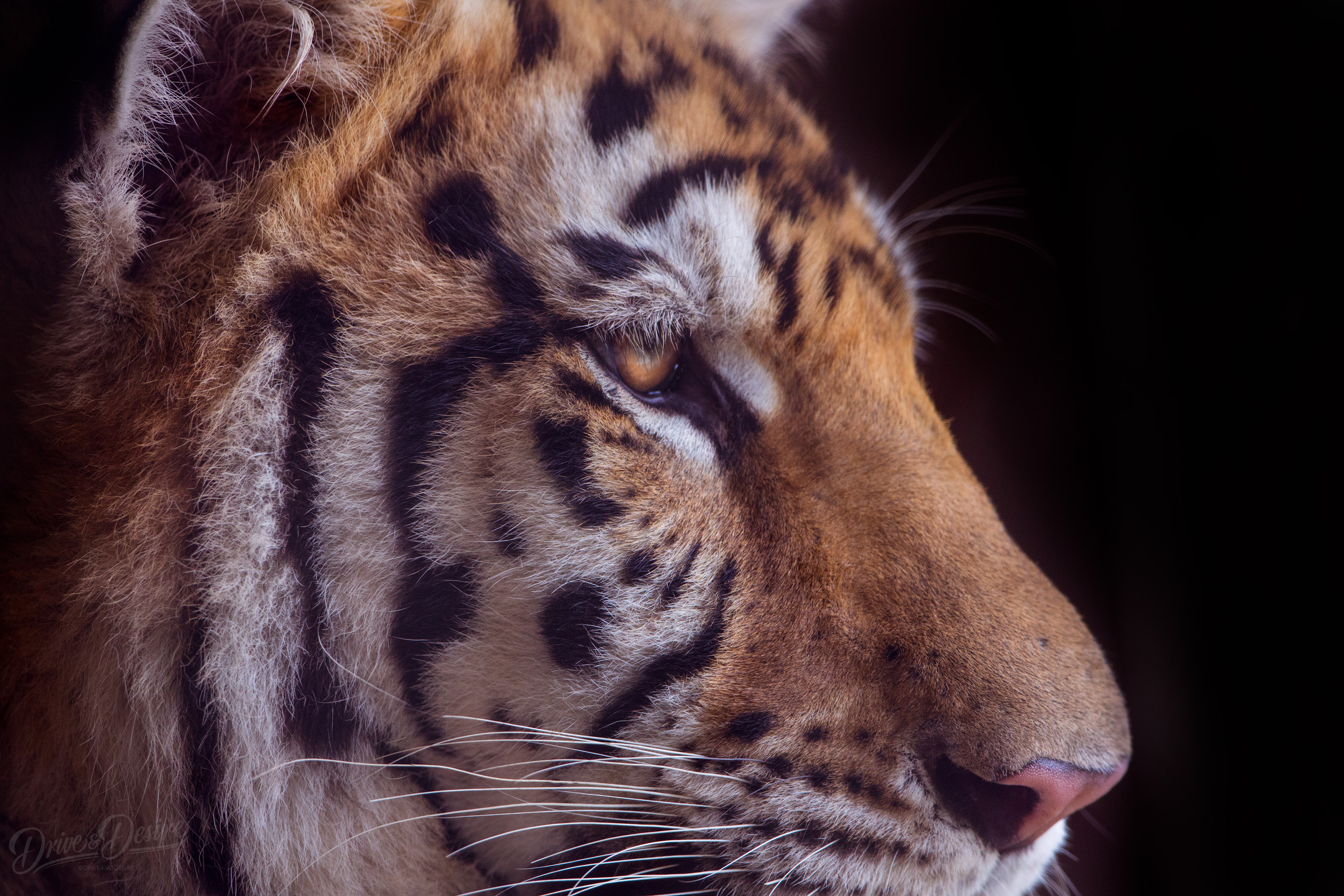 Tiger-World-IMG_5728-website-Edit.jpg