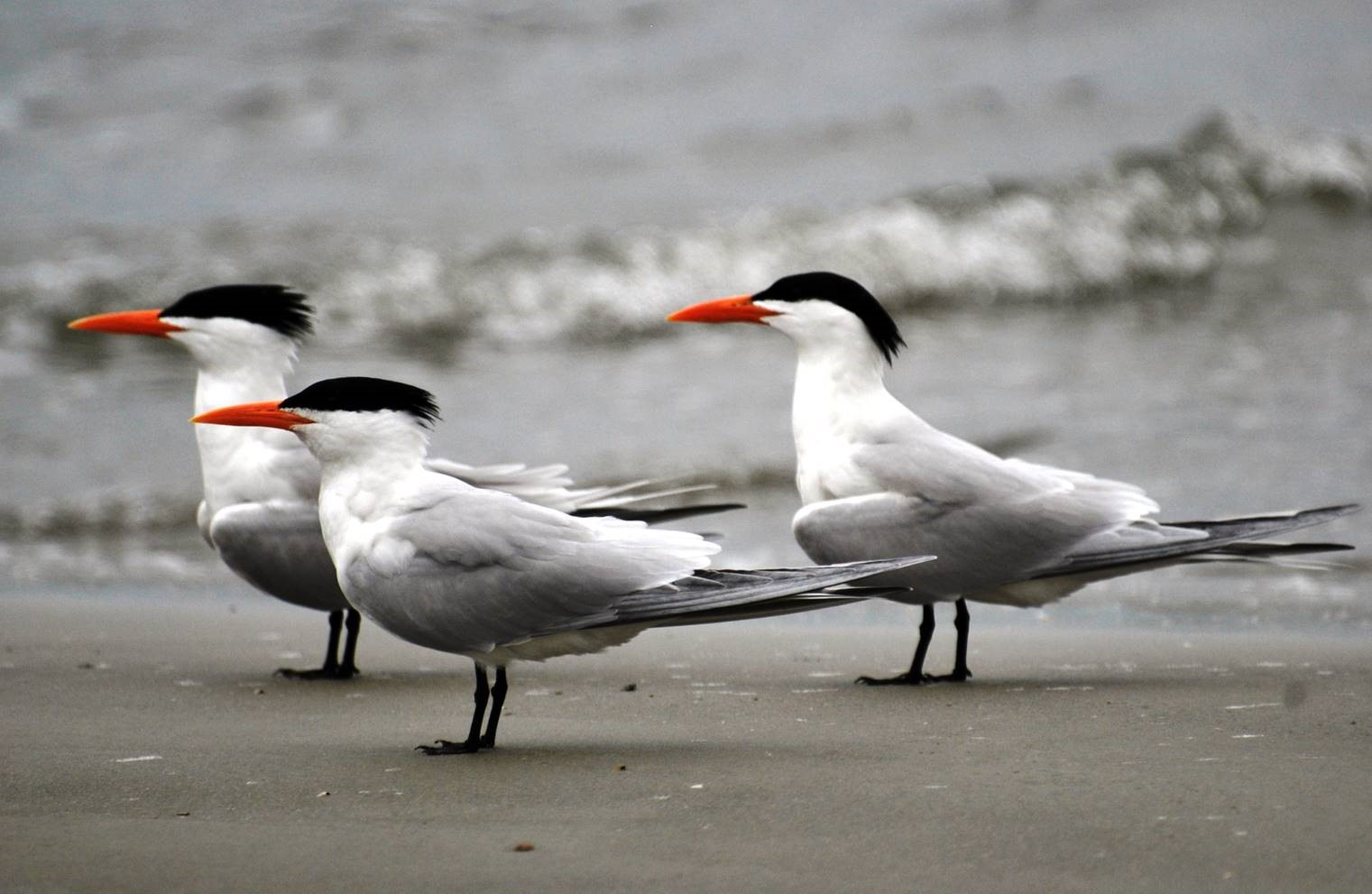 sea gulls with hats.jpg