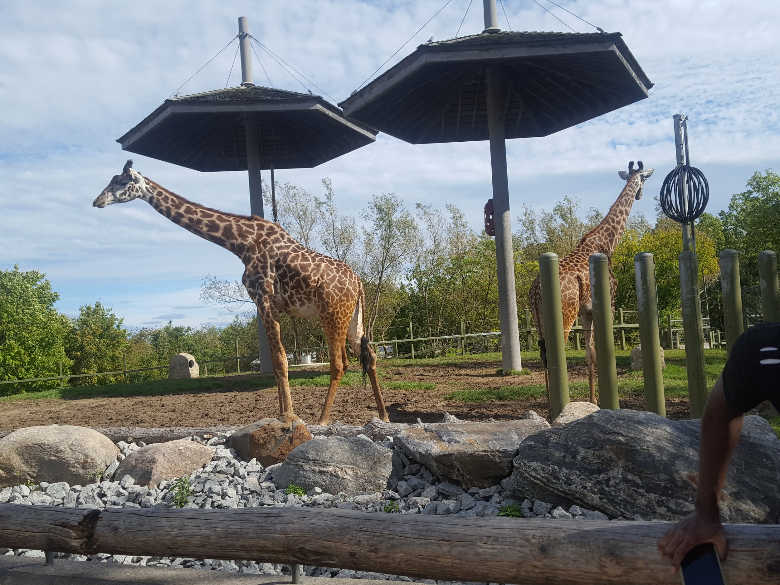 Giraffes at the Toronto Zoo