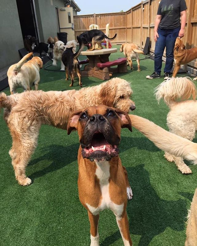 Daisy and all her friends!  #boxer #doggiedaycare #doggydaycare #windsorontario #dogsofwindsorontario