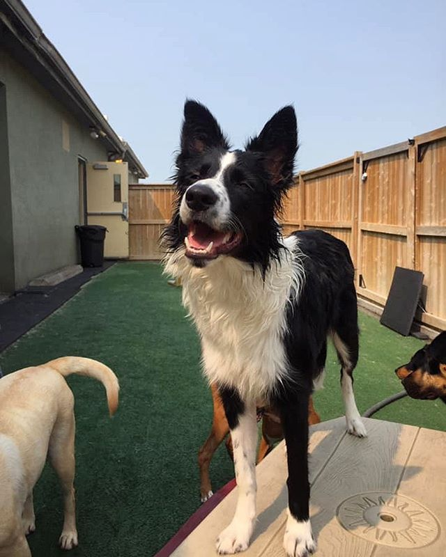Willow couldn't be happier about the weather!  #bordercollie #doggiedaycare #doggydaycare #dogsofwindsorontario #windsorontario