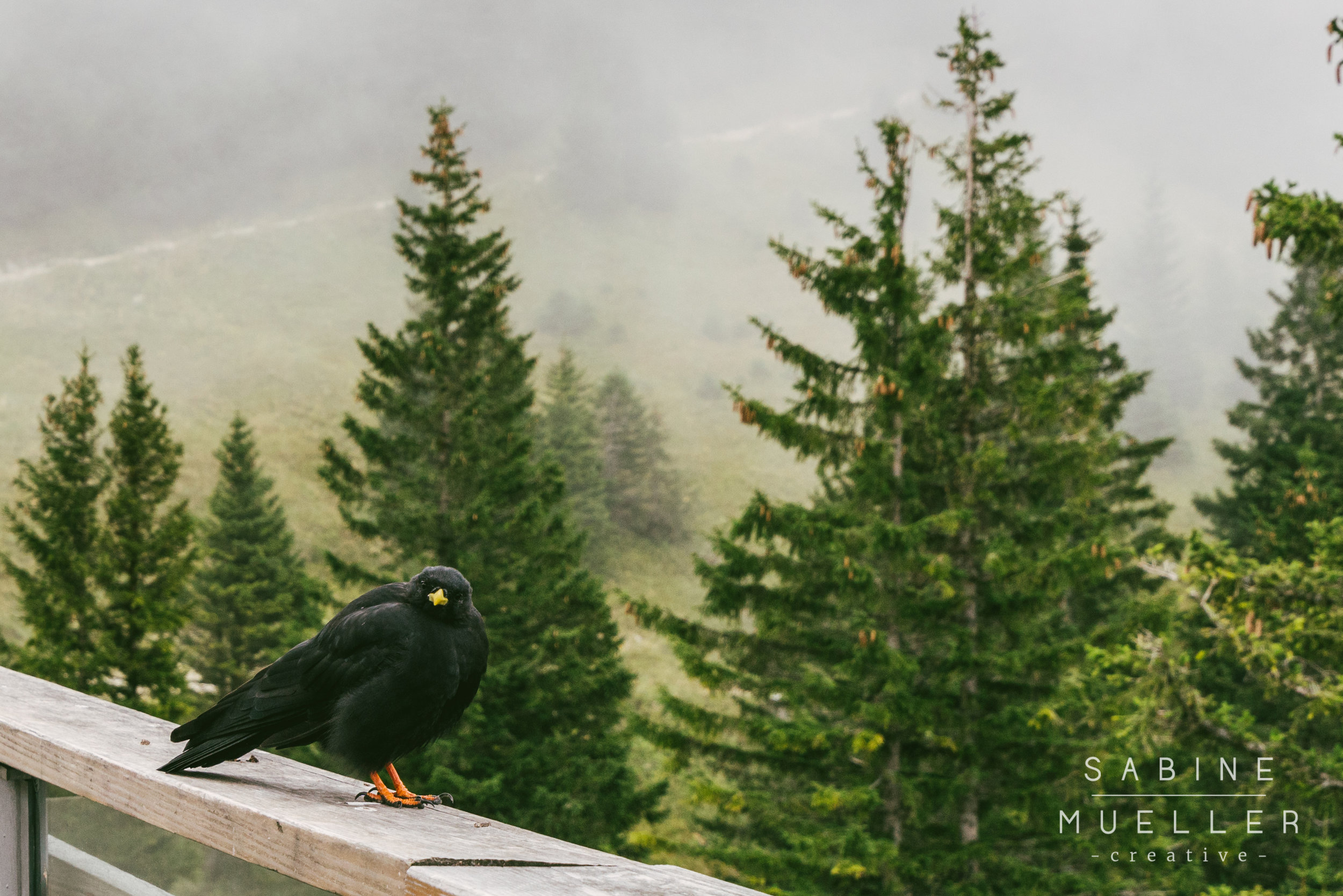 Crow on Tegelberg
