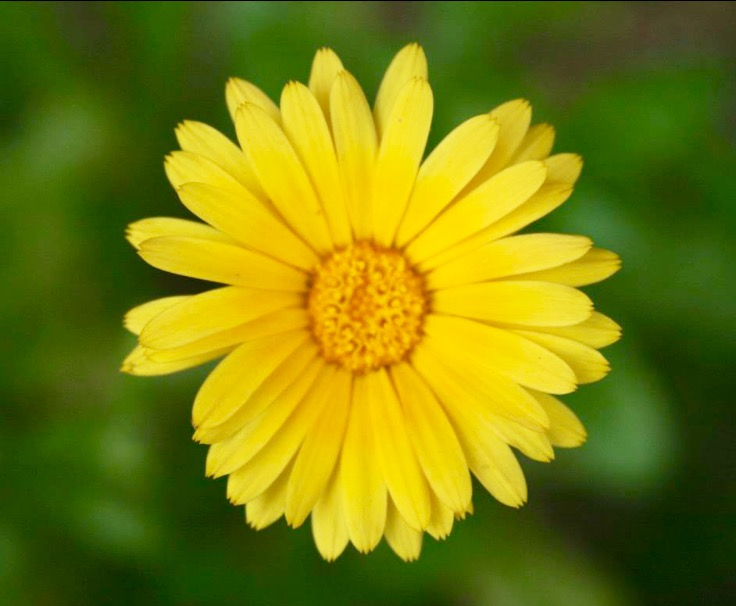 Take home a beautiful Calendula plant! -