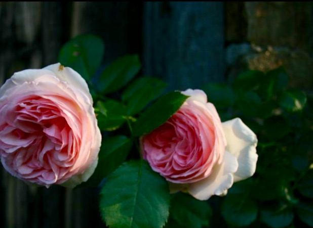 Rose, a calming scent which reduces inflammation.