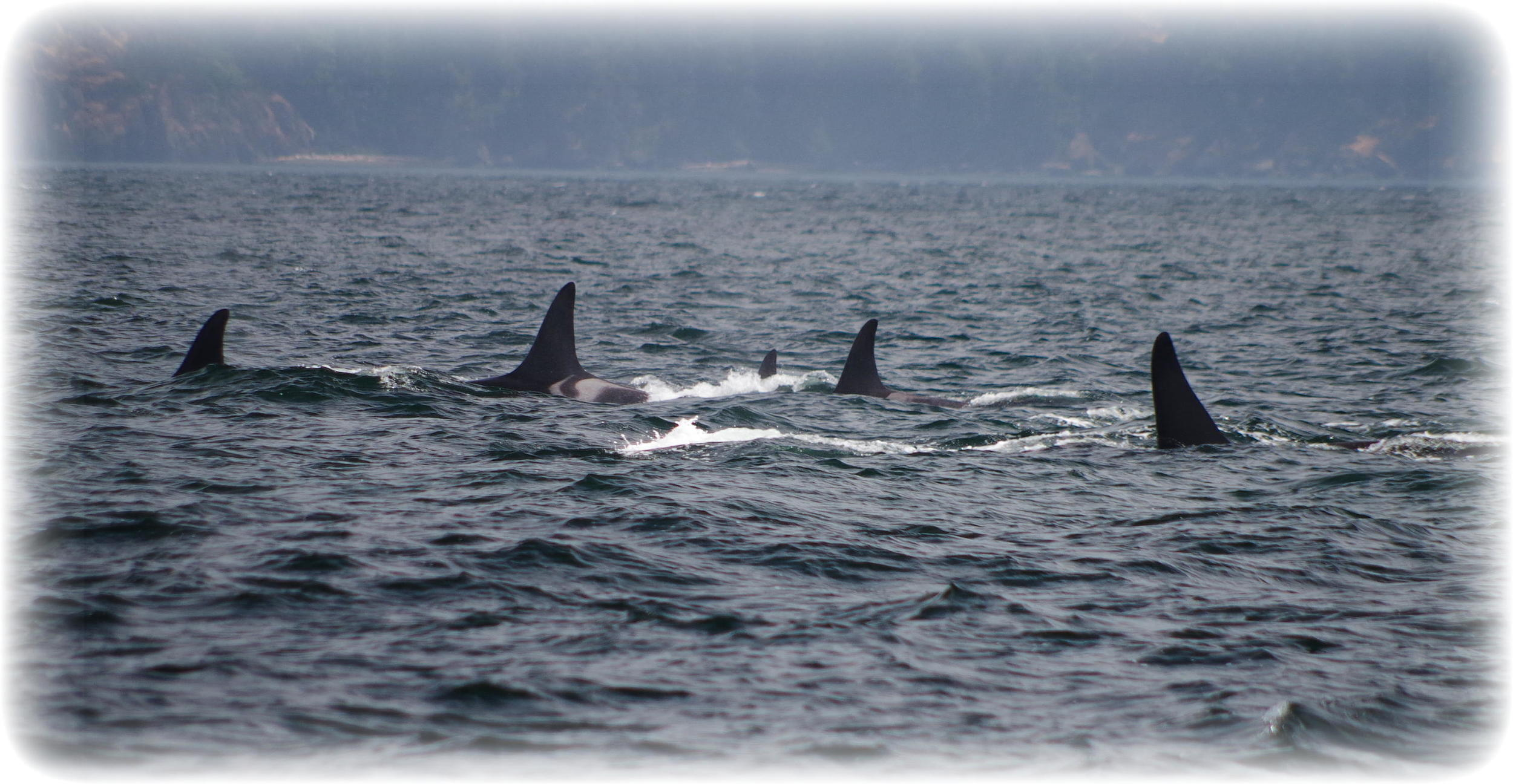 Southern Resident Killer Whales. Photo: Elizabeth Batt/All Rights Reserved