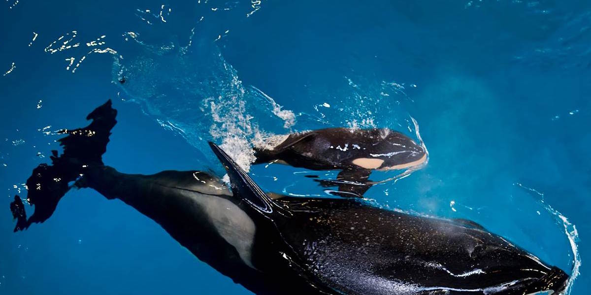 Image from a  press release  issued today by SeaWorld. Kyara, their newest calf is sick. Copyright: SeaWorld.com