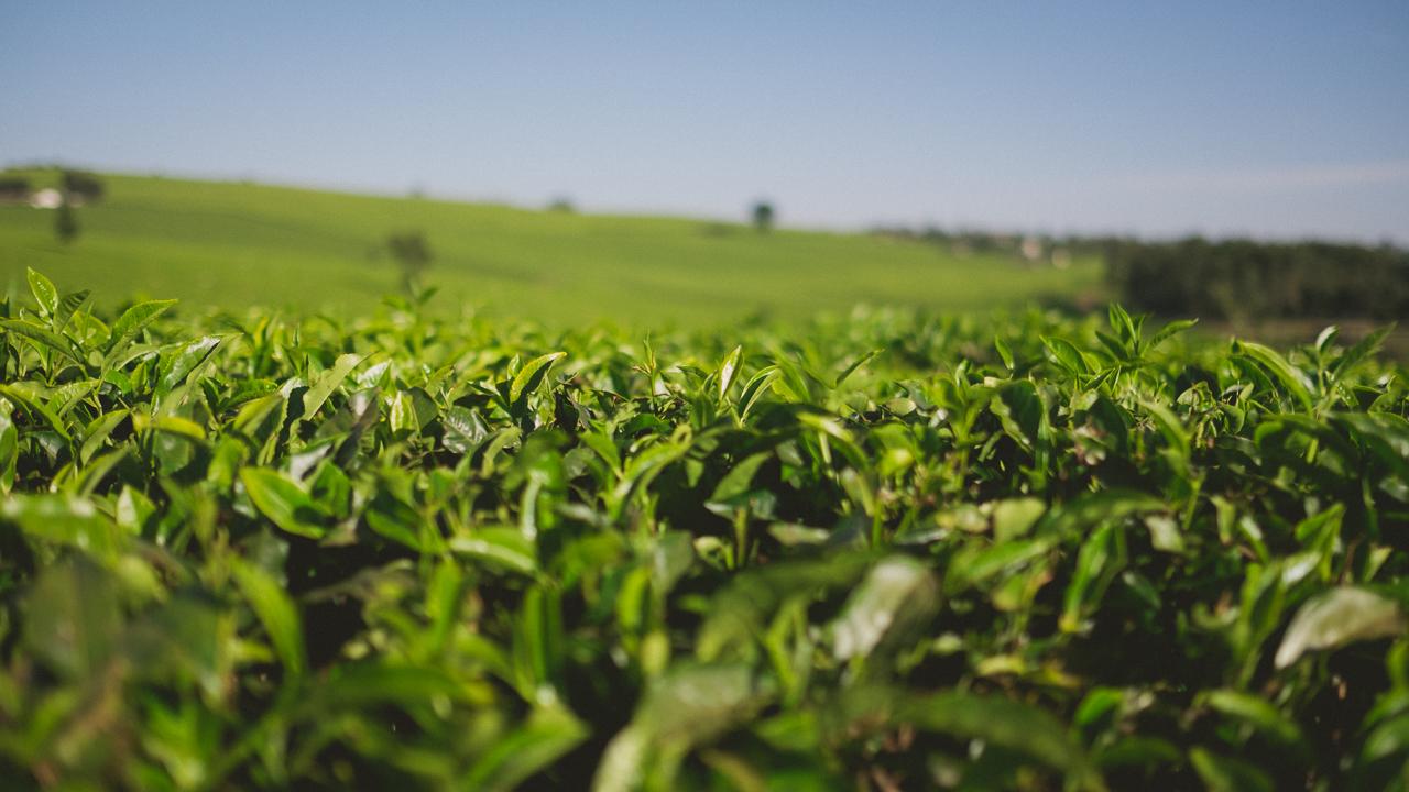 Tea leaves near Kiambu