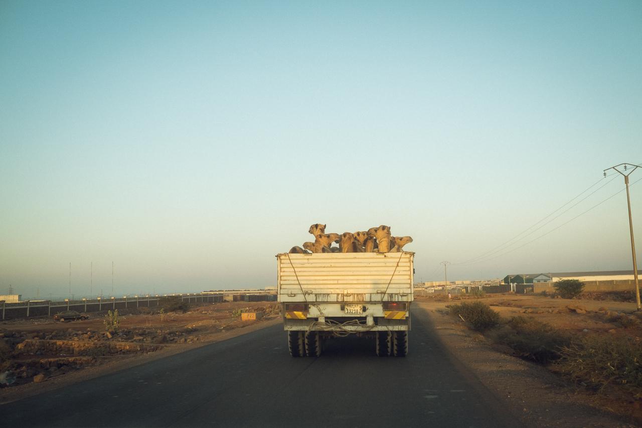 Camel shipment