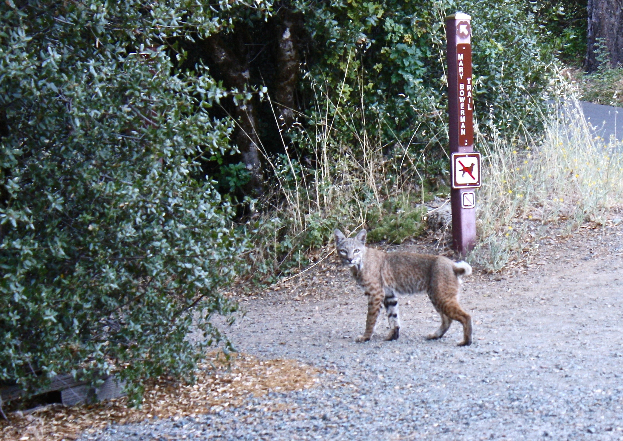 Bobcat, Mt. Diablo State Park. (And yes, this is why they don't allow little Fifi to mosey down the Mary Bowerman Trail.)