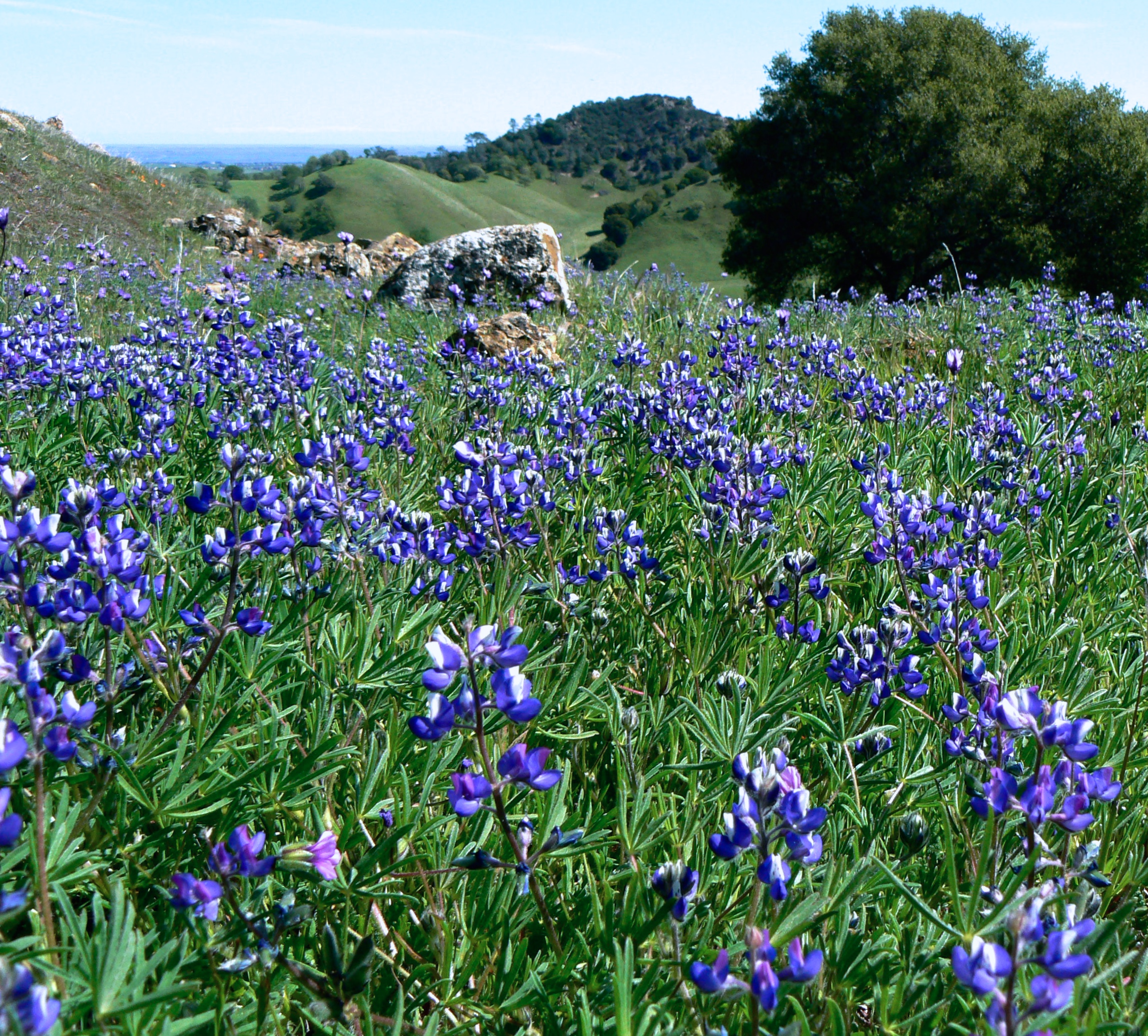 Miniature lupine crowds the shoulder of Upper Oil Canyon Trail.