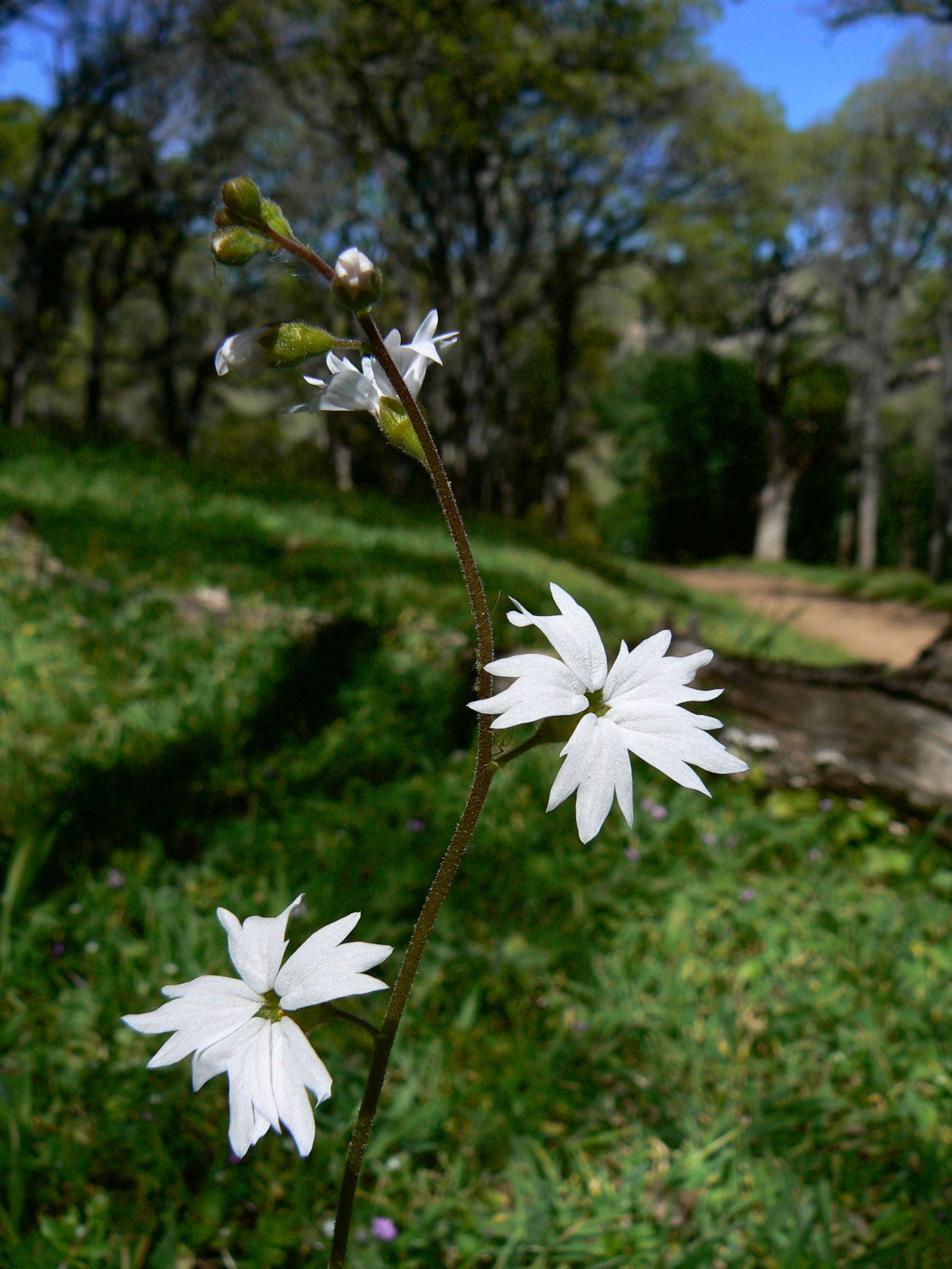 Woodland star gathers the spring light along the Upper Oil Canyon Trail.
