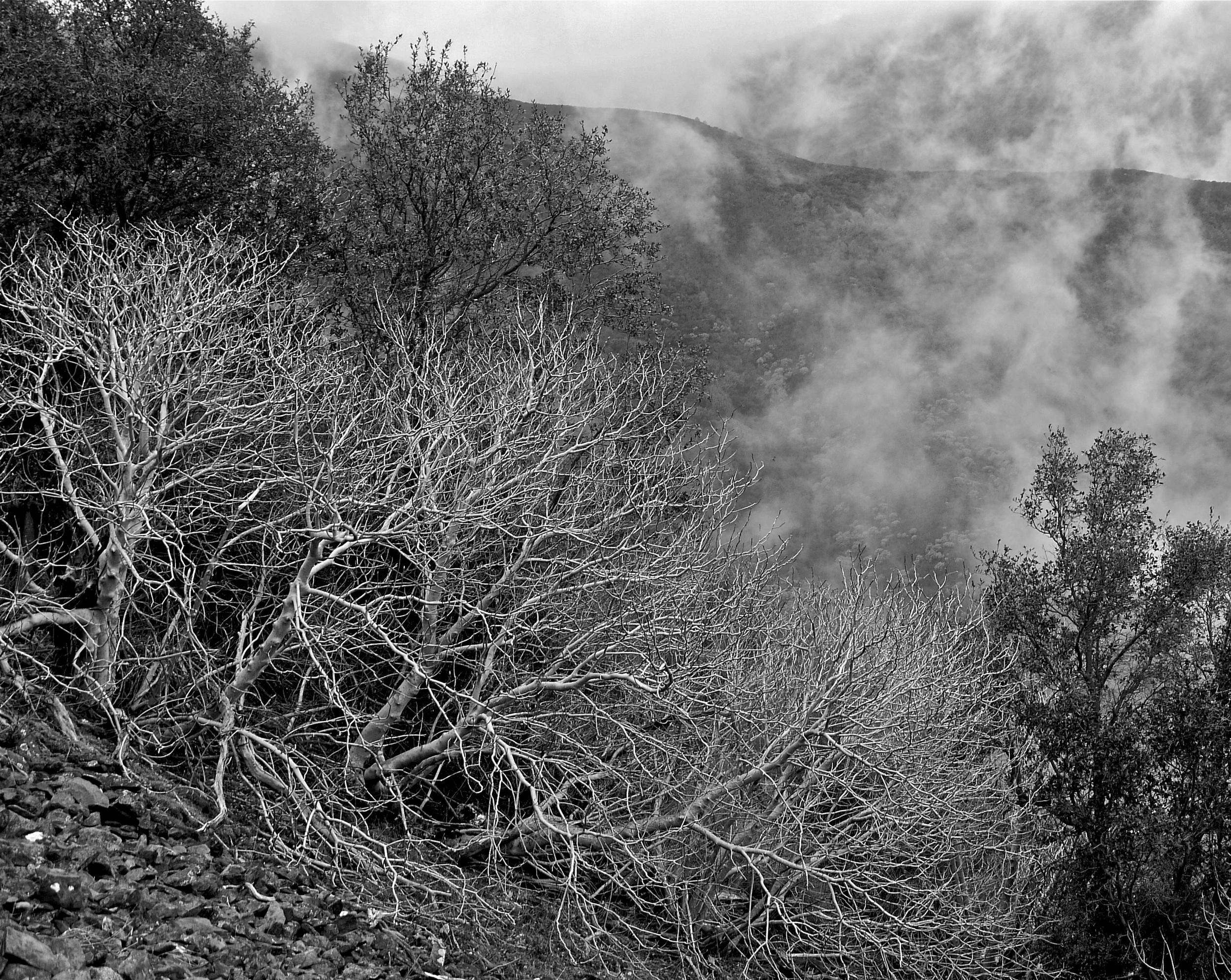 California buckeye and fog, North Peak, Mt. Diablo.
