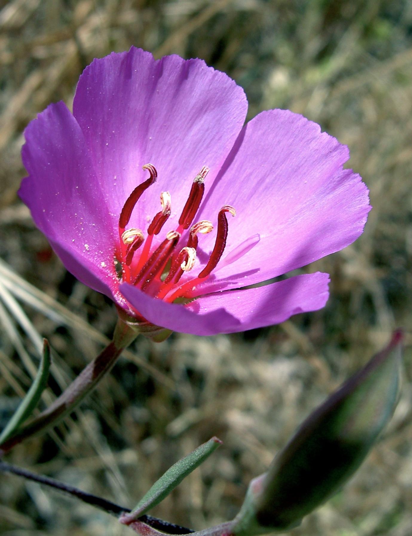Ruby chalice clarkia, Blue Oak Trail.
