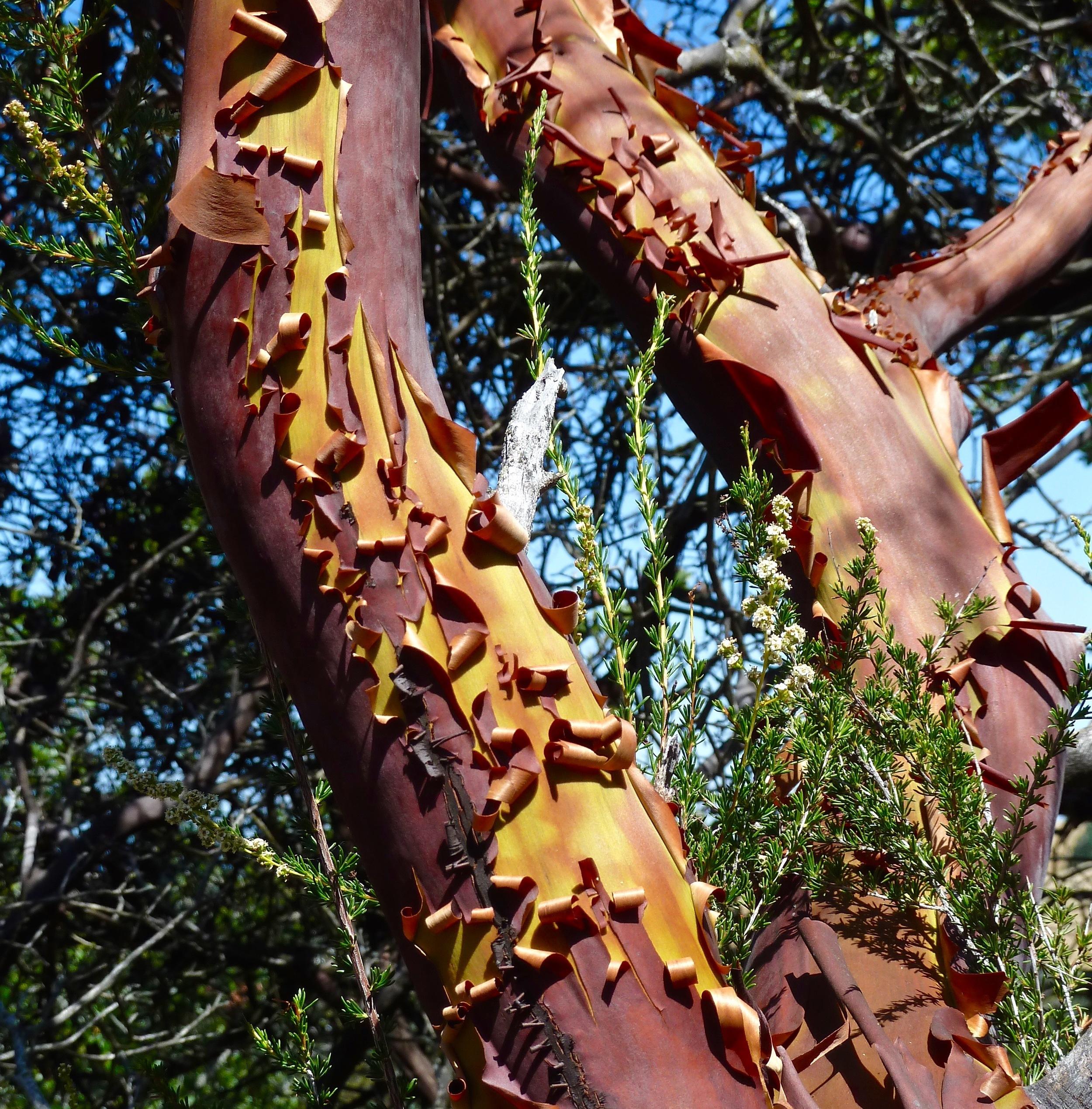 Bark peels from madrone, Prairie Falcon Trail.