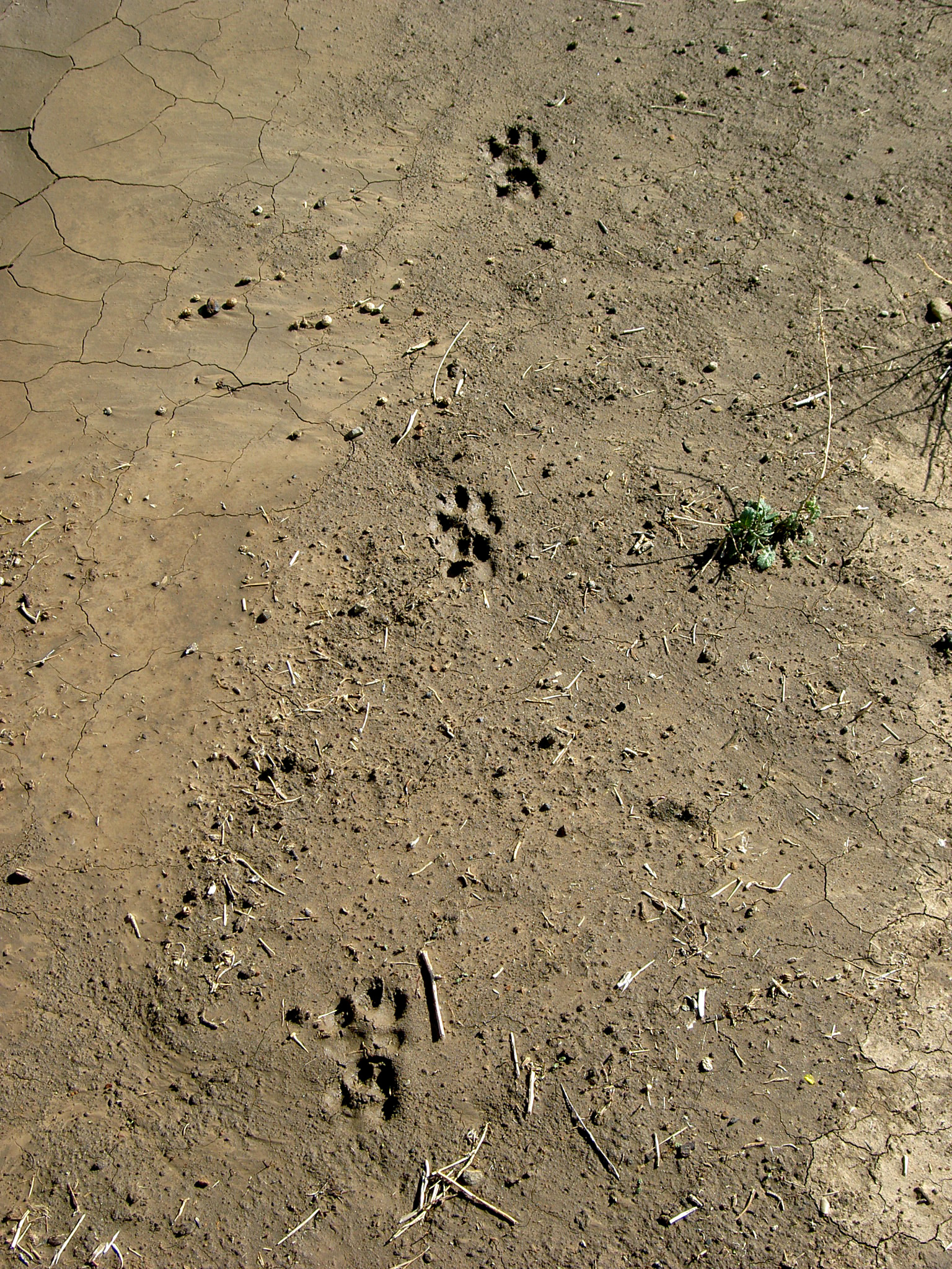 "Bobcat track illustrates ""diagonal walking."" The left hind paw (lower track of bottom pair) and right front paw (upper track of middle pair) hit the ground at the same time. Then the bobcat's right hind paw (lower track of middle pair) and left front paw (upper track of top pair) hit the ground at the same time."