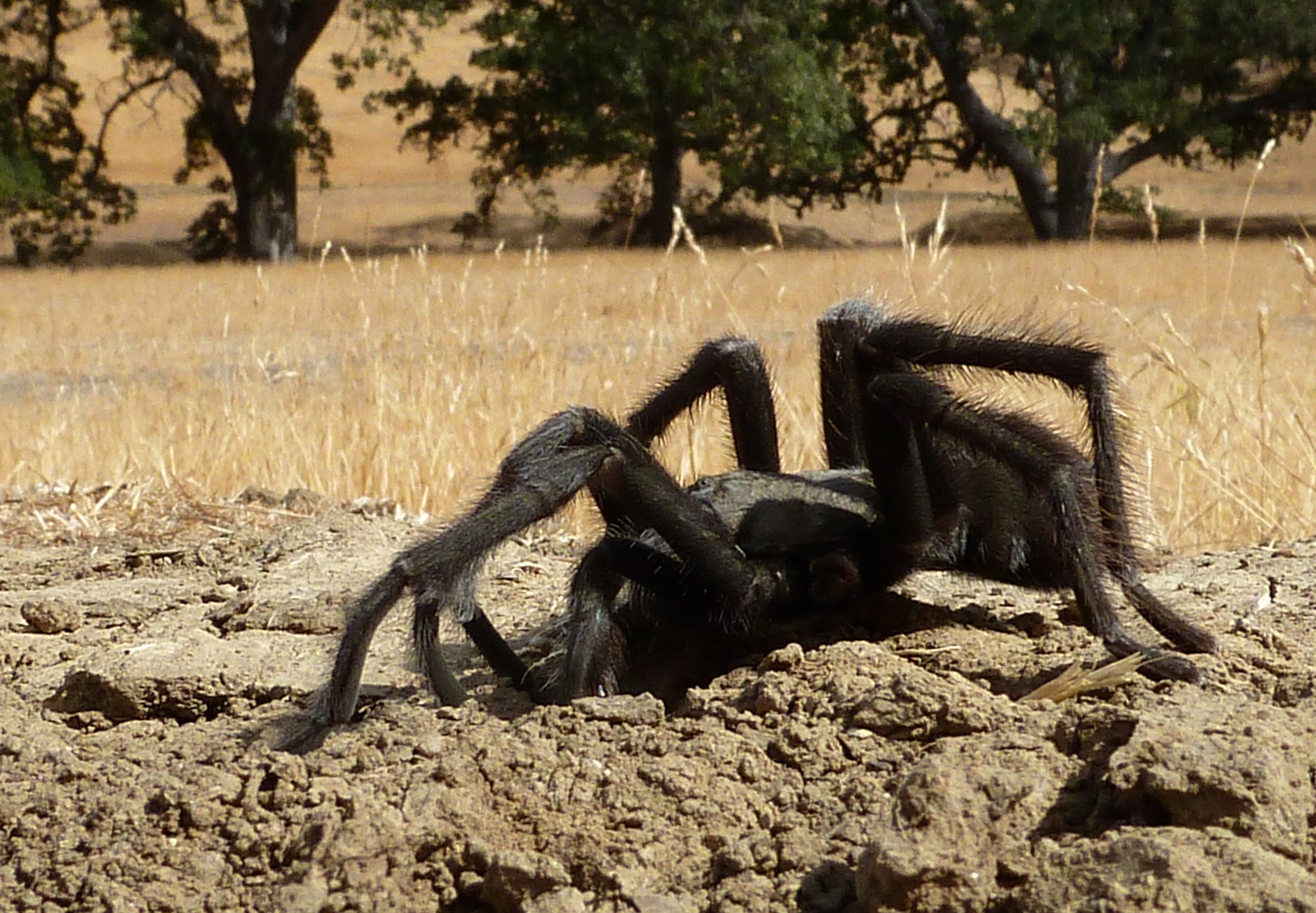 In  Round Valley's  Murphy Meadow, a male tarantula inspects a burrow in hopes of hitting on some long-legged, eight-legged brunette.