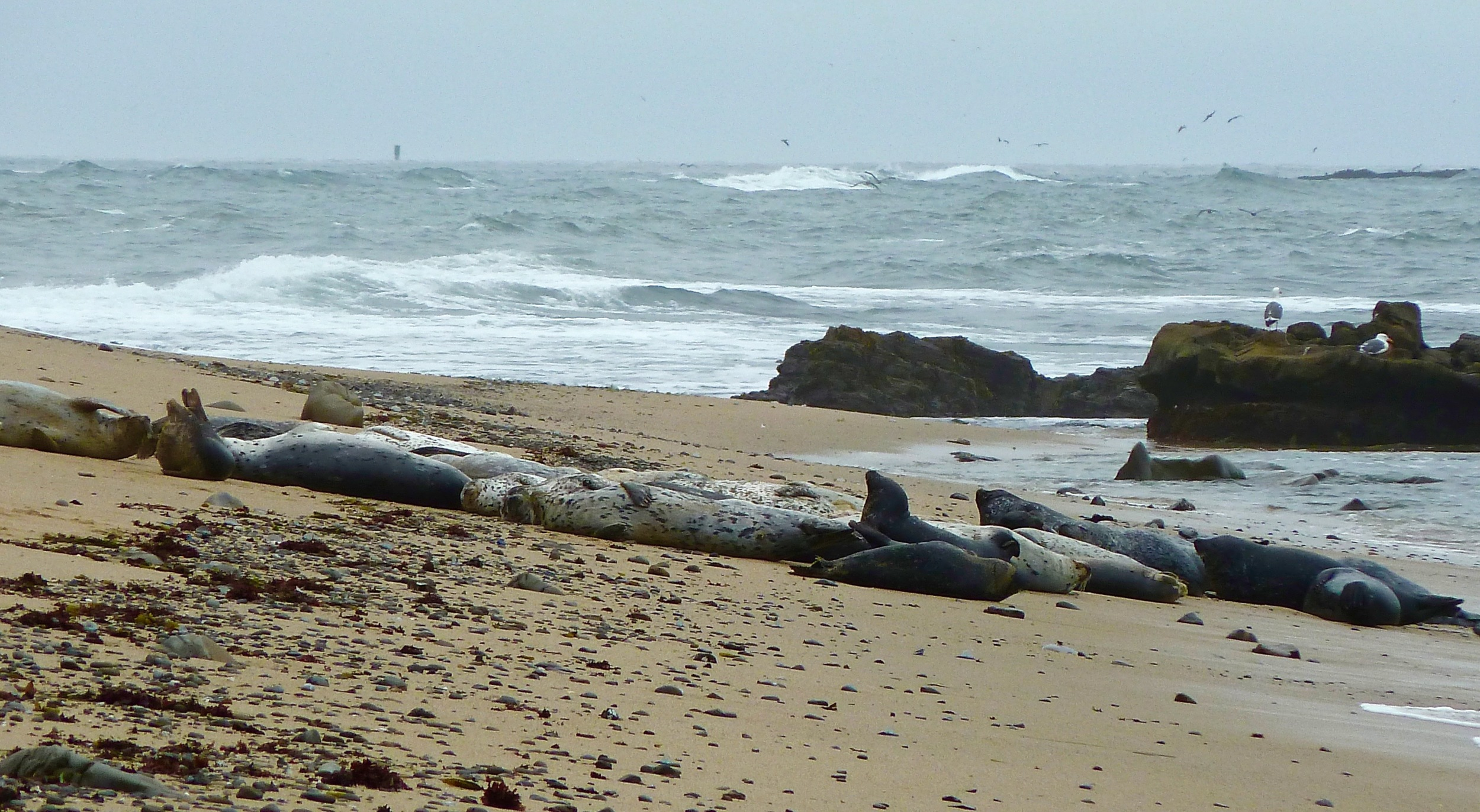 Harbor seals enjoy a snooze on a blustery afternoon.