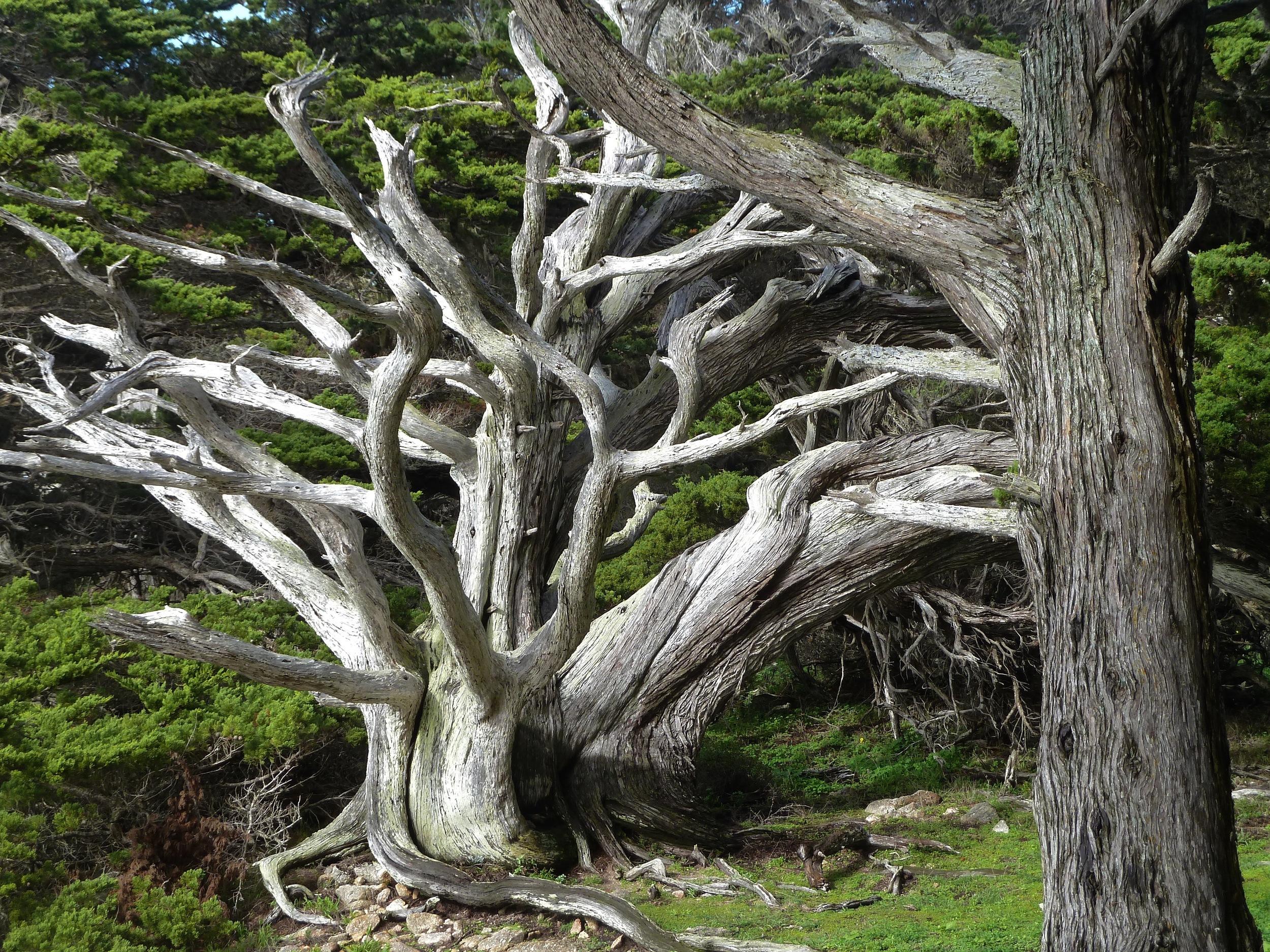 Monterey cypresses, Cypress Grove Trail.