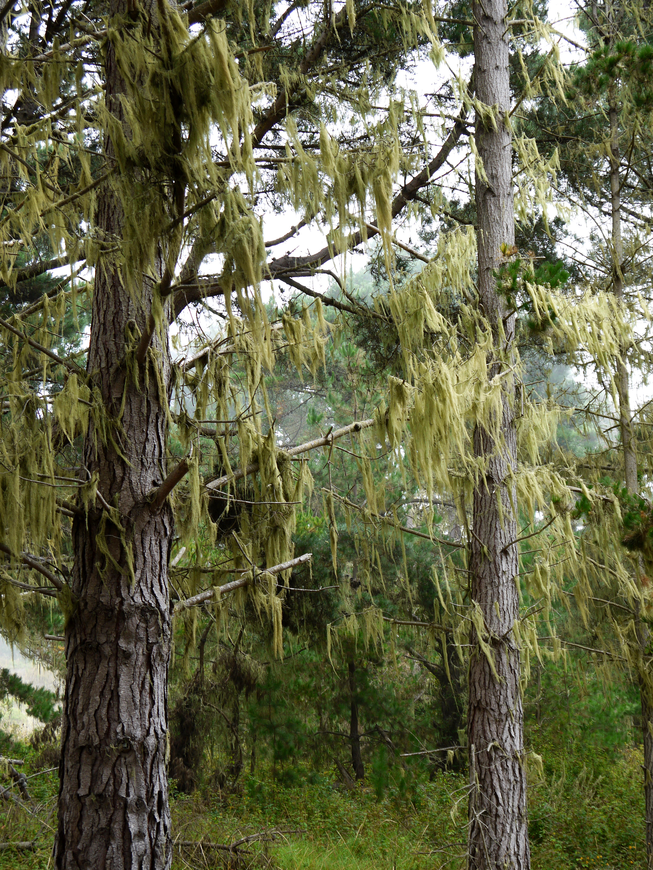 Moss hangs from Monterey pines in Piney Woods.