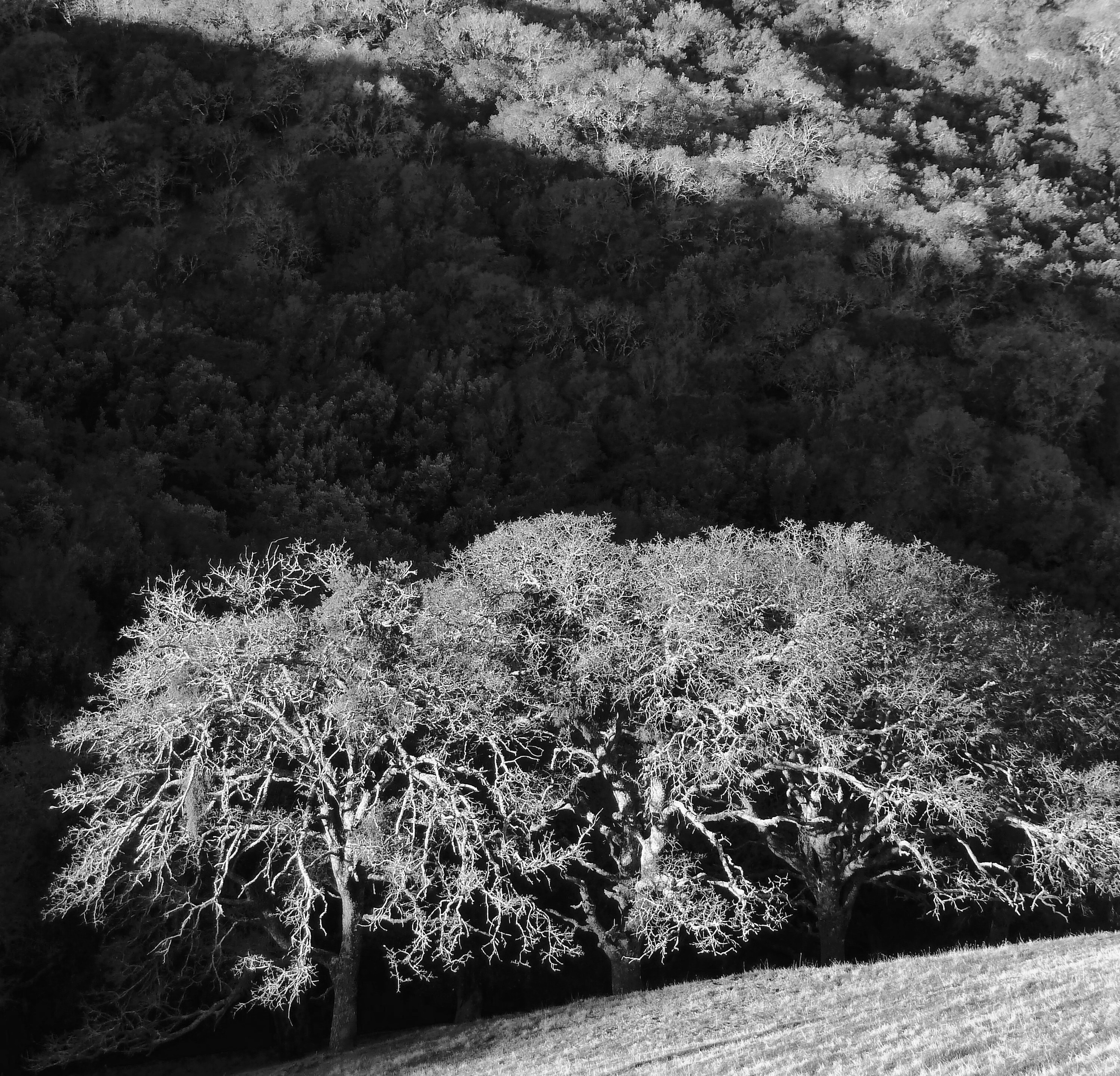 A trio of valley oaks in January viewed from Epperson Ridge.