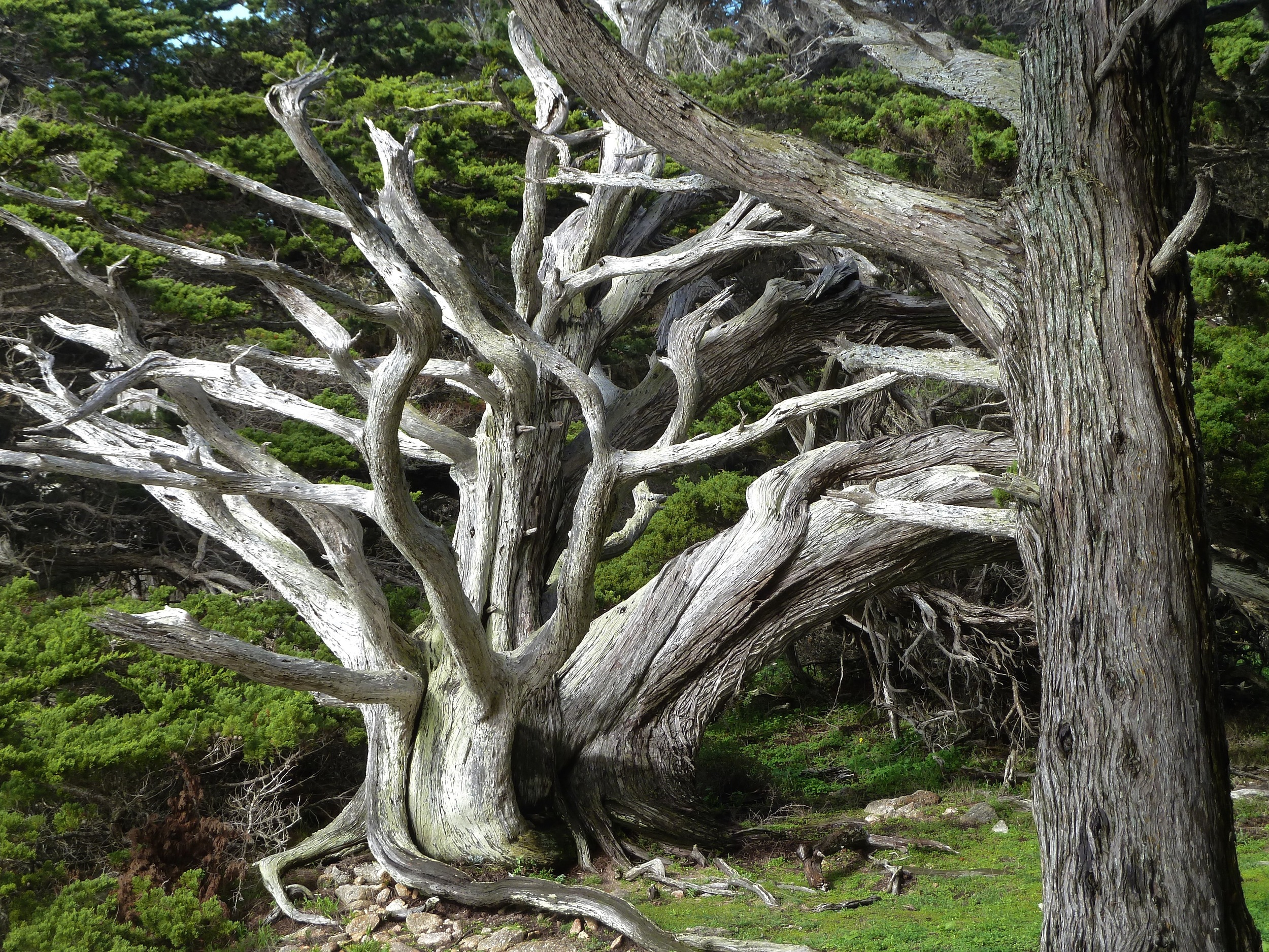 Monterey cypress, Point Lobos State Reserve.