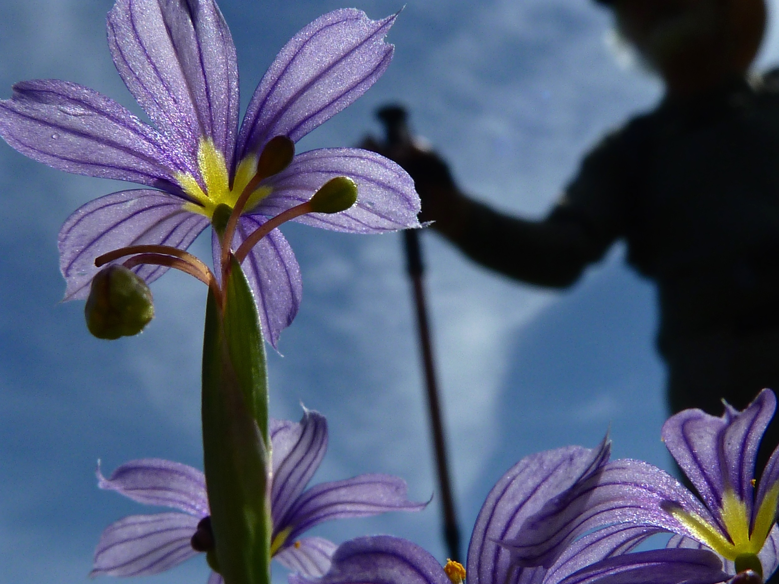 A hiker breezes past the blue-eyed grass on Vista Grande Trail.