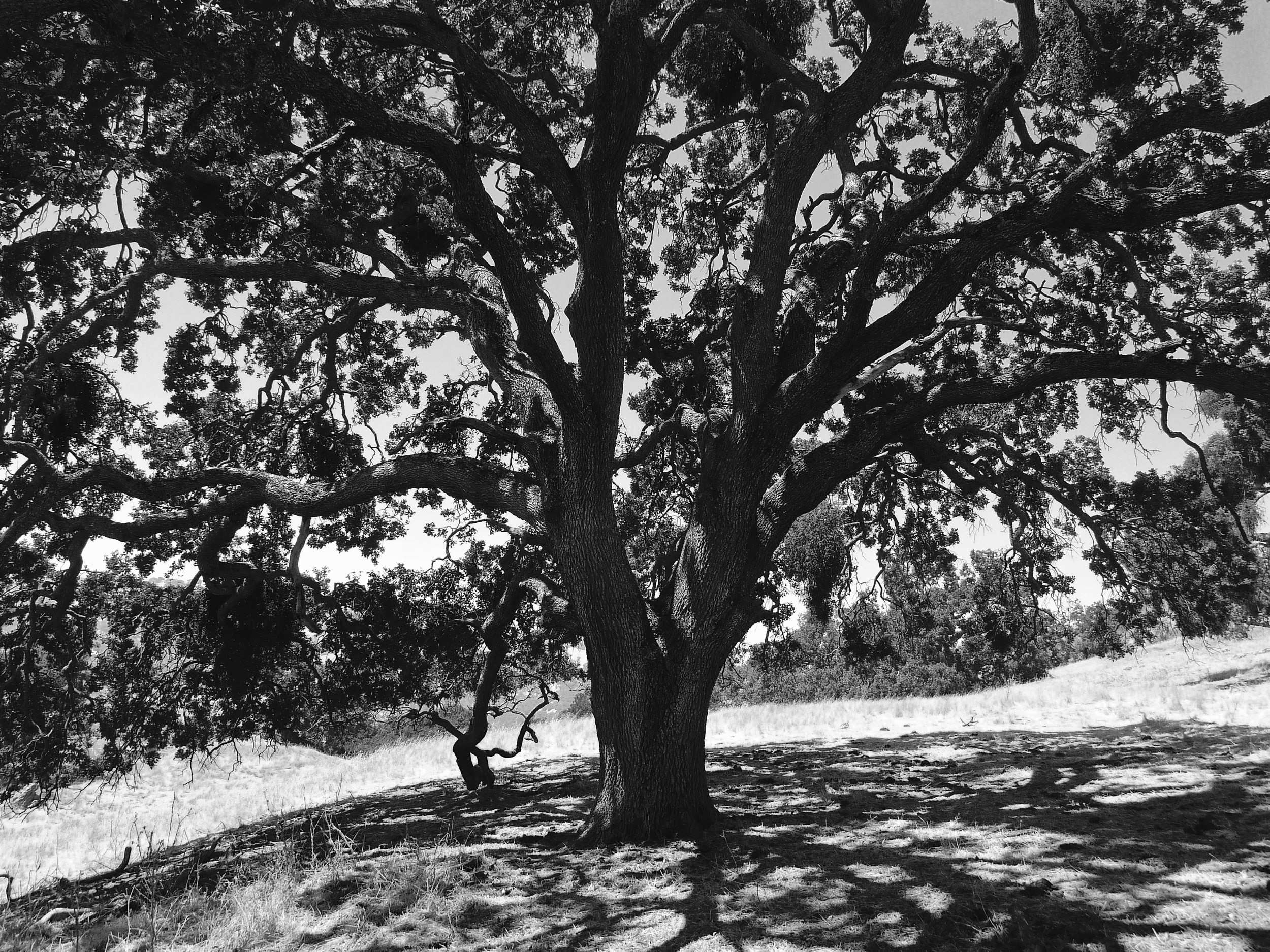 A valley oak on Cerro Este Road spreads refreshing shade on a hot August afternoon.