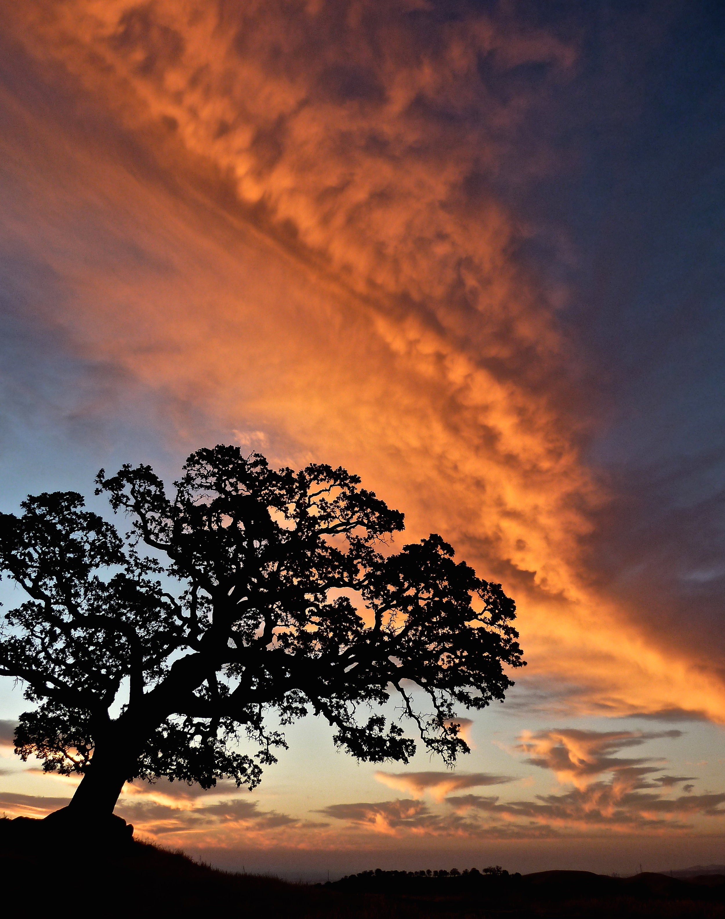 The blue oak Old One greets dawn on the Summit.