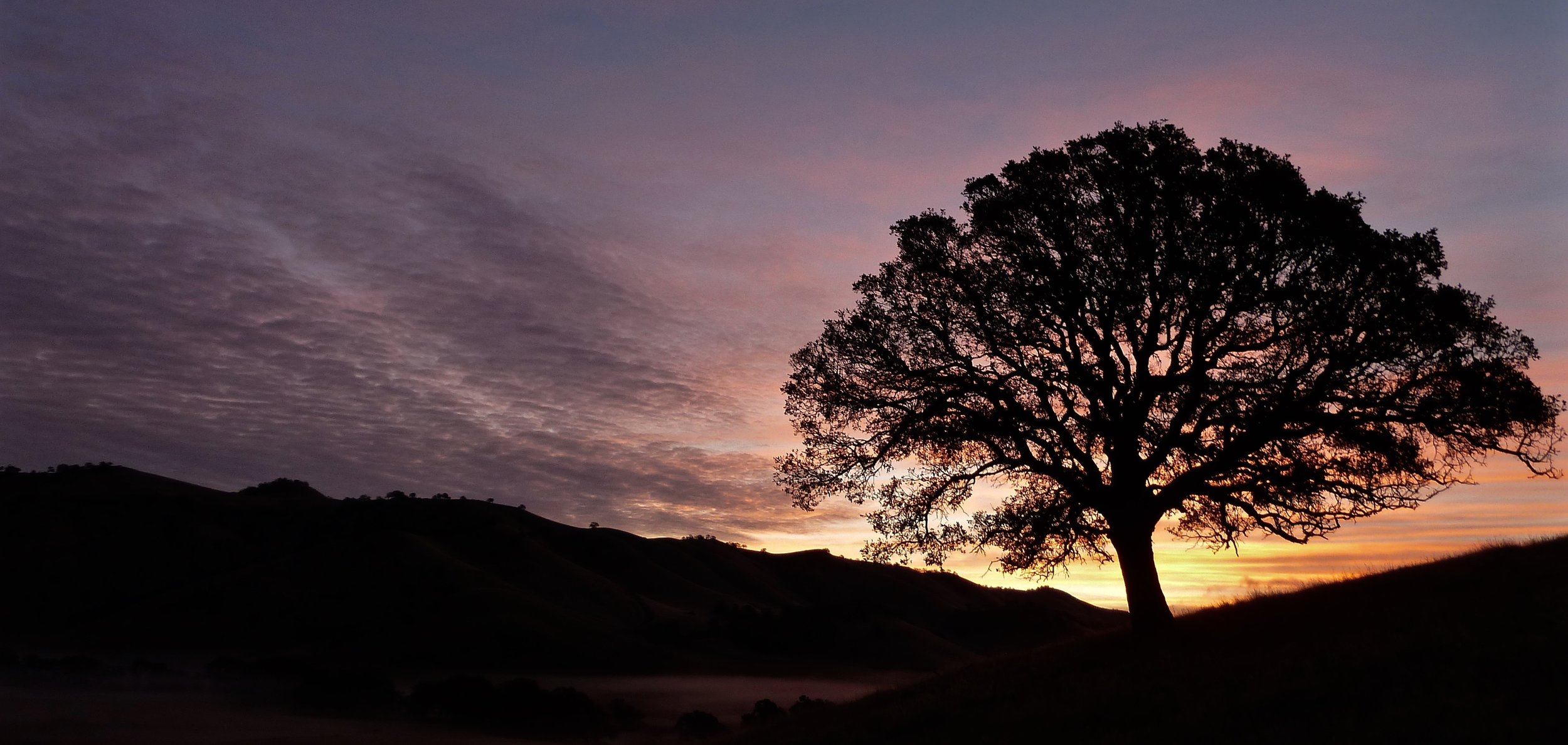 A California black oak greets sunrise over Murphy Meadow.