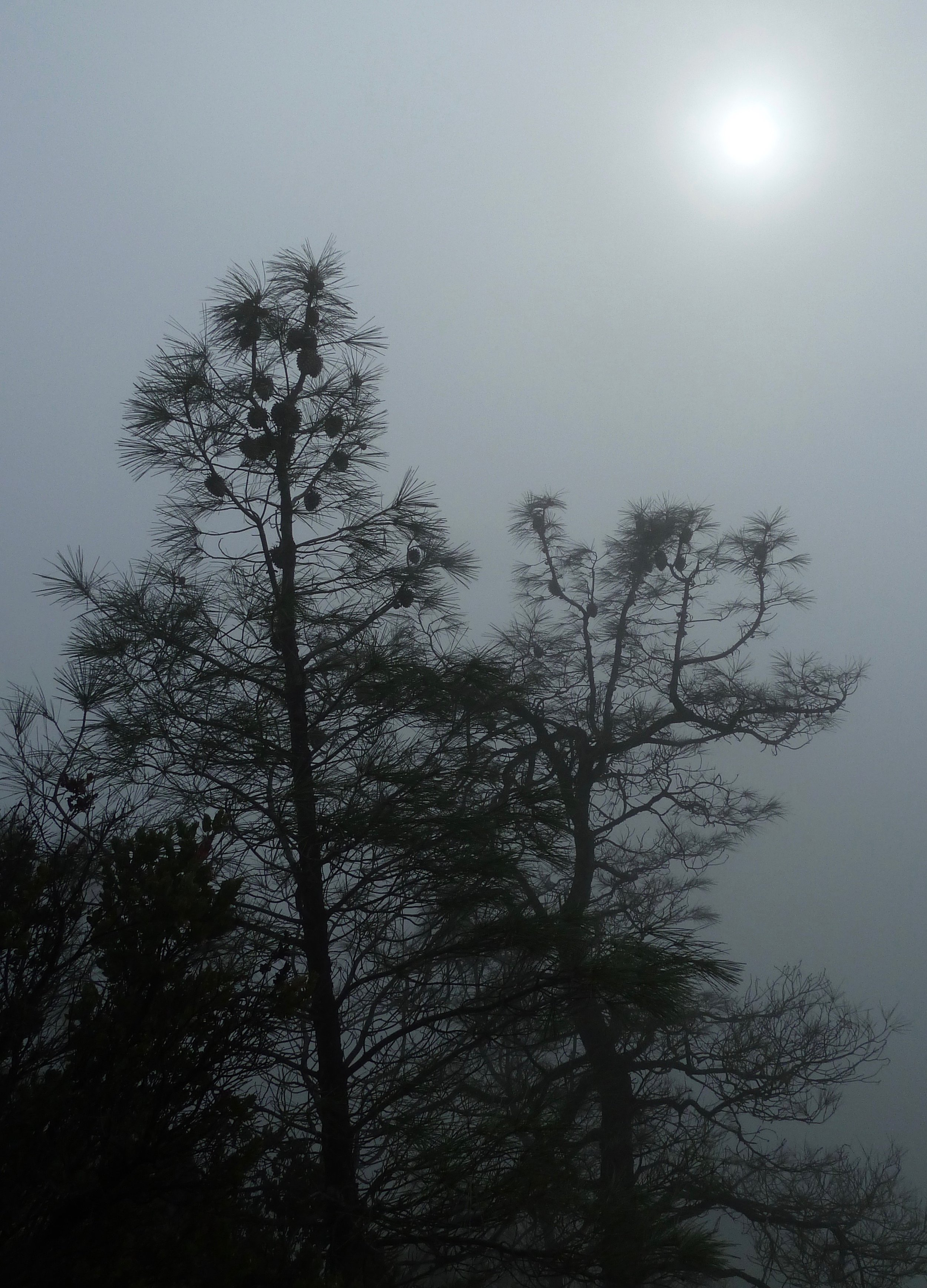 Coulter pines in the fog, Ridge Trail.