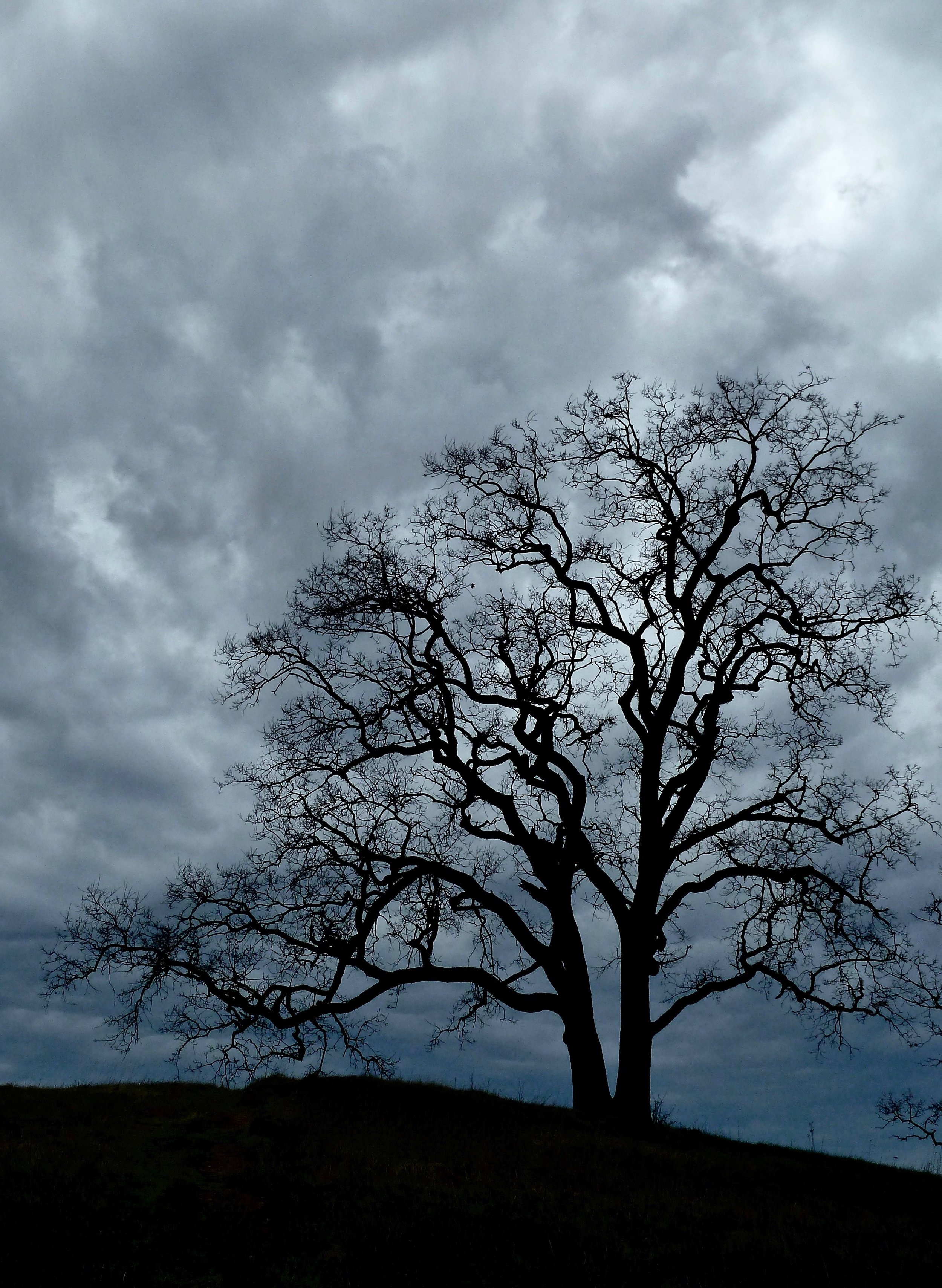 A valley oak on Vista Grande Road braces for a winter storm.